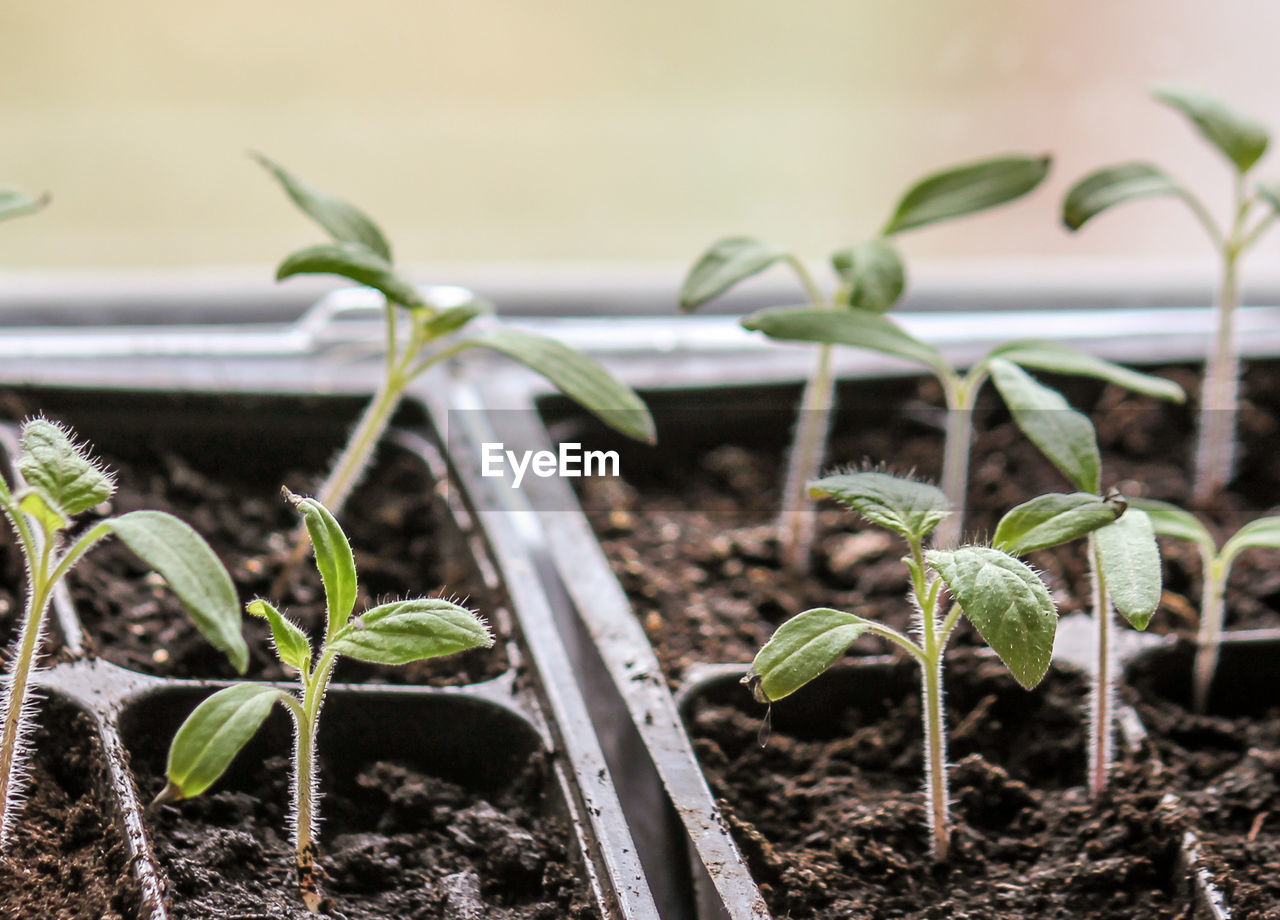 Close-Up Of Seedlings In Tray