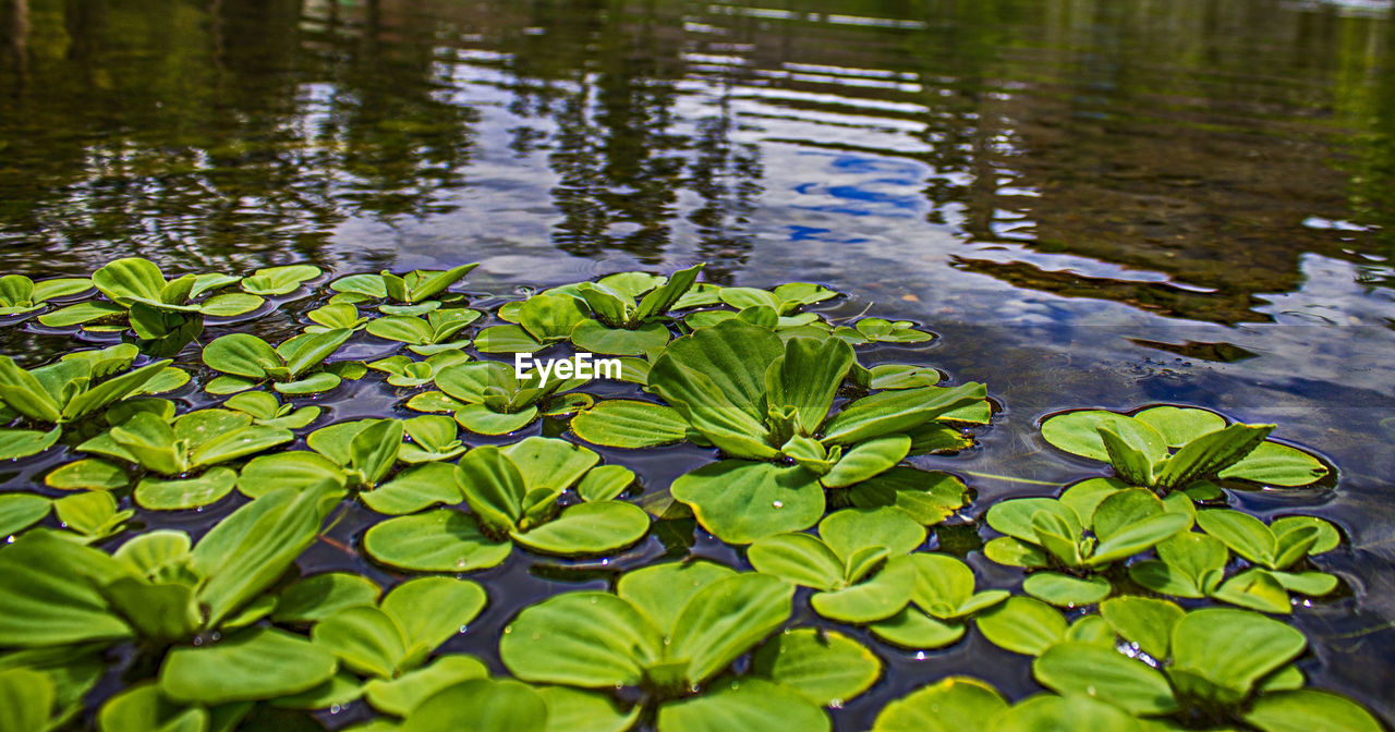 water, water lily, leaf, nature, lake, floating on water, beauty in nature, lotus water lily, lily pad, no people, green color, tranquility, plant, outdoors, growth, freshness, day, close-up, flower, fragility