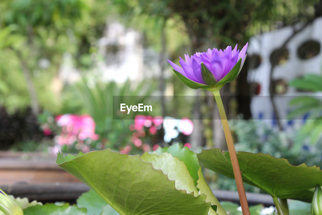flower, flowering plant, plant, vulnerability, freshness, fragility, beauty in nature, growth, petal, leaf, close-up, plant part, focus on foreground, flower head, nature, water lily, inflorescence, day, plant stem, green color, purple, lotus water lily, no people, outdoors