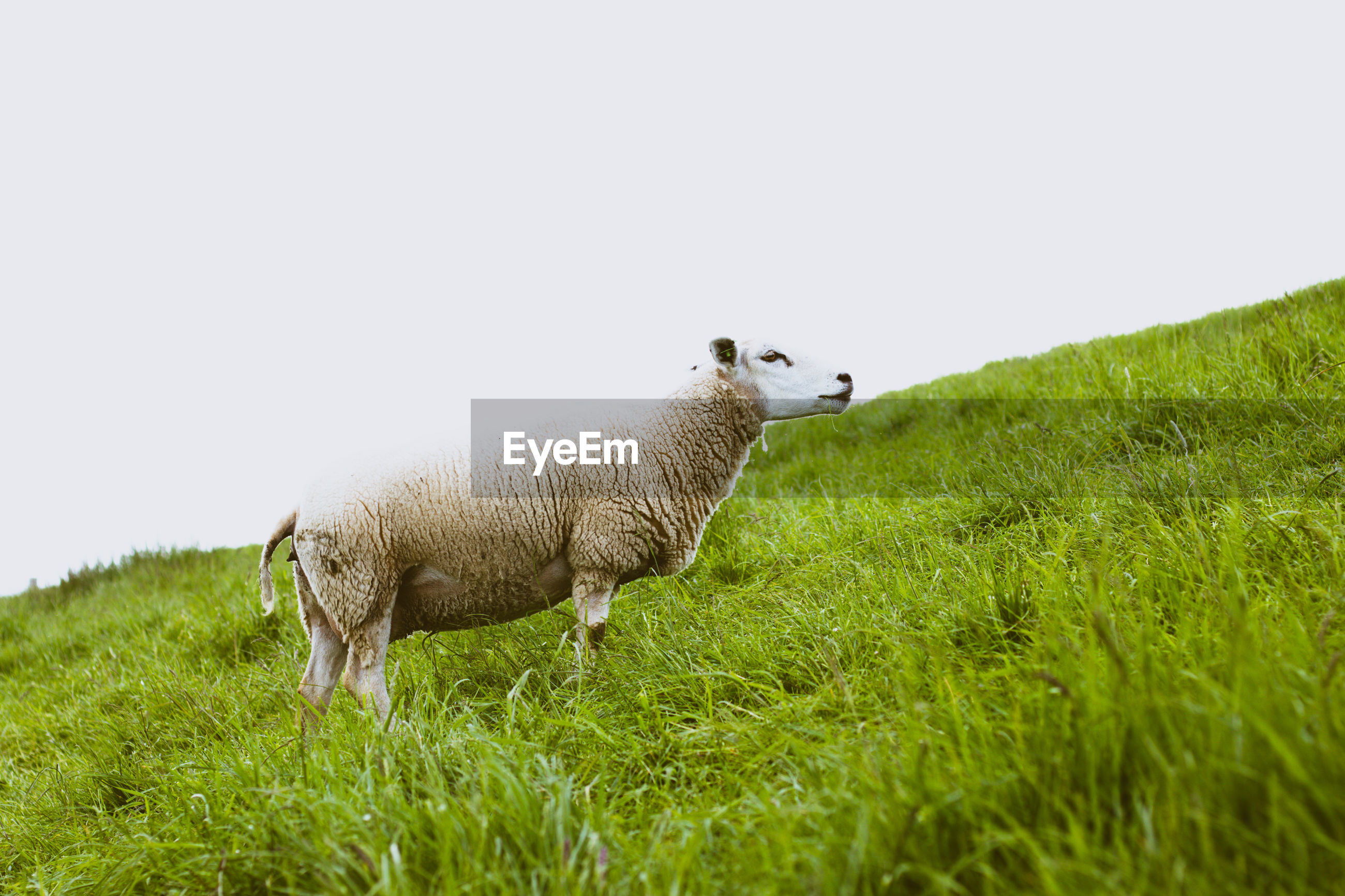 Sheep on grass against clear sky
