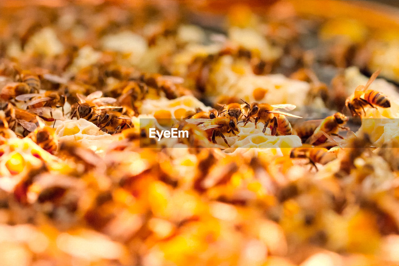 selective focus, close-up, no people, beauty in nature, nature, autumn, invertebrate, insect, bee, apiculture, honeycomb, beehive, animals in the wild, animal wildlife, group of animals, animal themes, large group of animals, day, animal, food, change, leaves