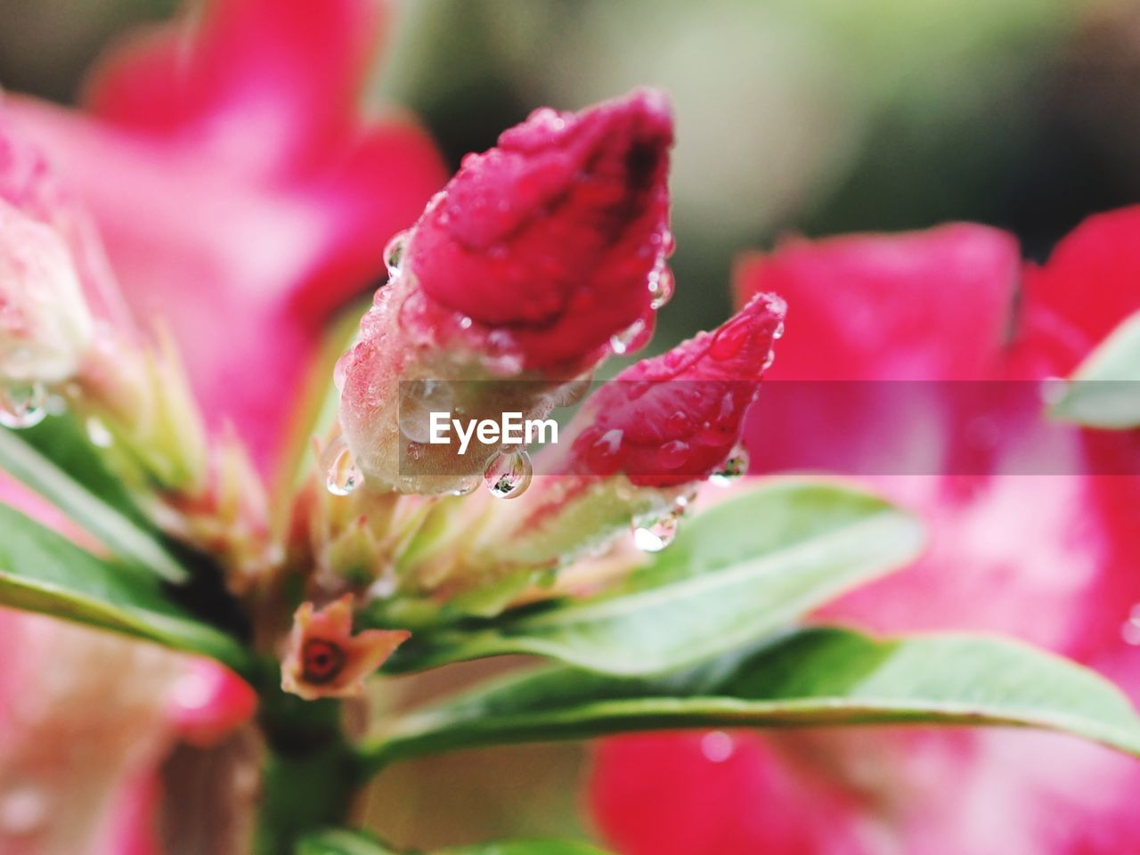 drop, nature, growth, beauty in nature, flower, petal, fragility, water, freshness, wet, plant, pink color, raindrop, no people, selective focus, close-up, rose - flower, flower head, blooming, purity, outdoors, day