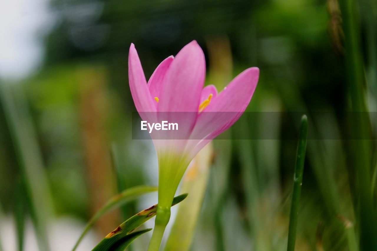 flowering plant, plant, flower, freshness, vulnerability, growth, fragility, beauty in nature, petal, close-up, pink color, focus on foreground, inflorescence, flower head, nature, day, no people, selective focus, green color, outdoors, purple