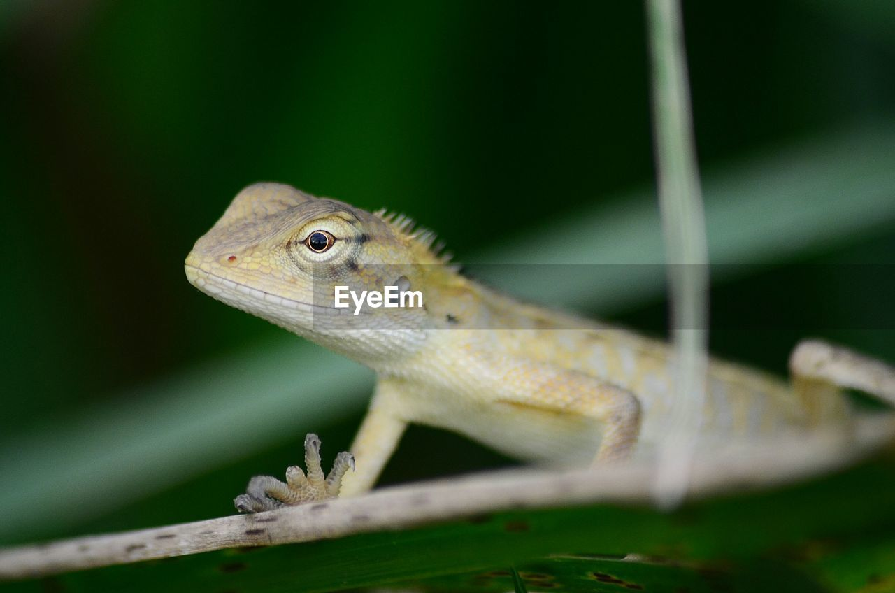 animal themes, one animal, animal wildlife, animal, animals in the wild, lizard, reptile, close-up, vertebrate, no people, selective focus, nature, green color, plant, day, plant part, animal body part, outdoors, leaf, looking, animal eye, animal scale