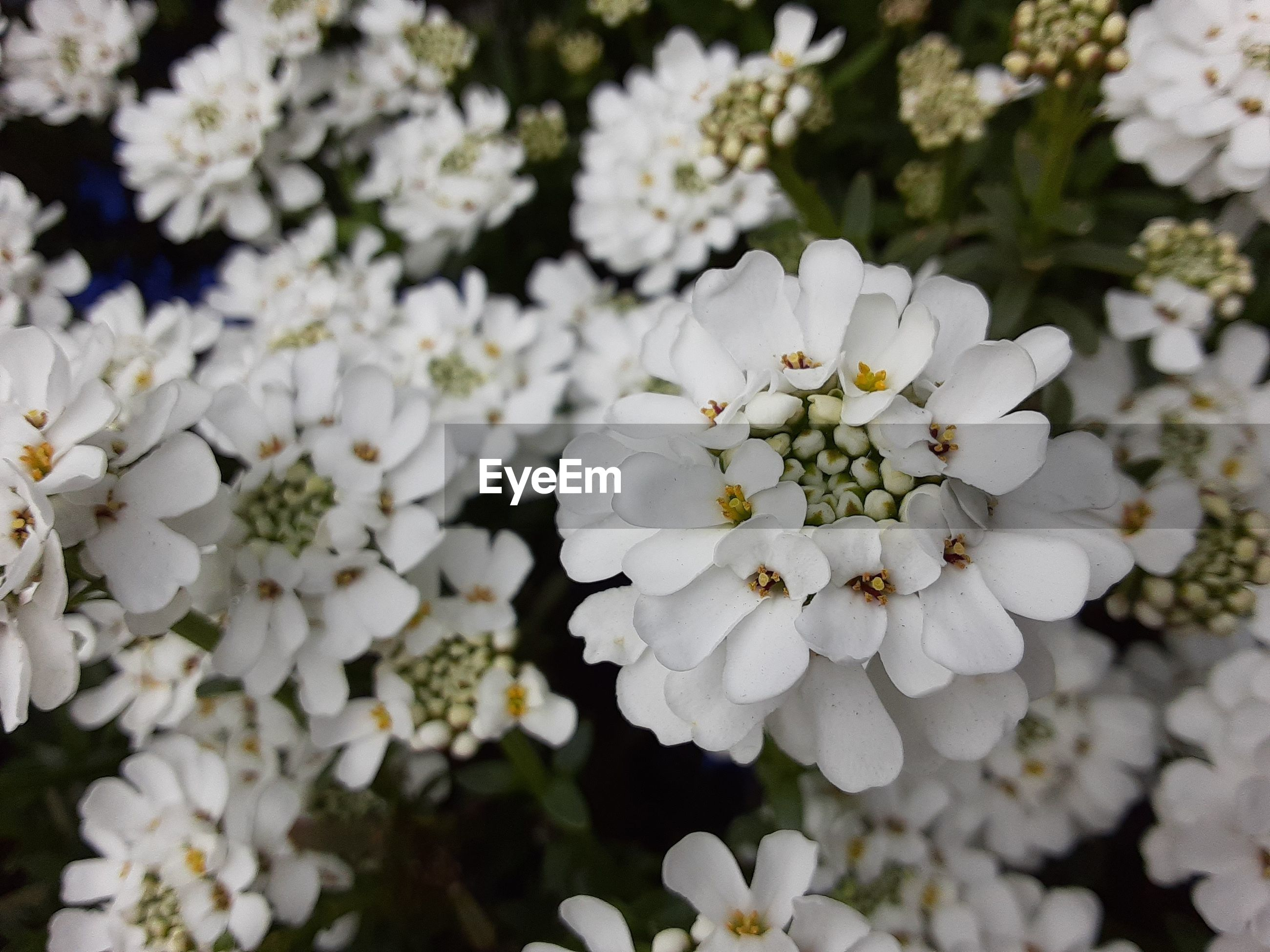 CLOSE UP OF WHITE FLOWERING PLANTS