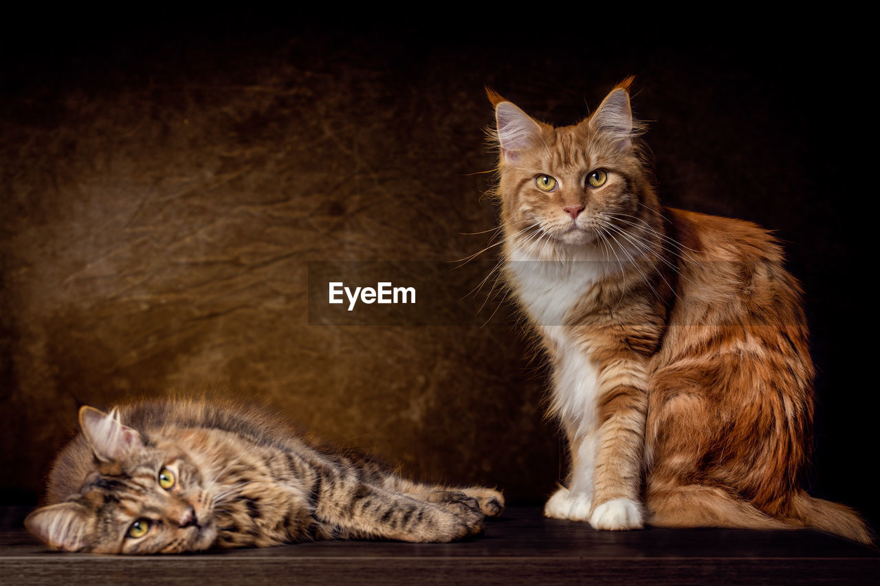 cat, mammal, feline, domestic, pets, domestic cat, domestic animals, group of animals, vertebrate, two animals, whisker, looking at camera, portrait, sitting, indoors, no people, ginger cat, maine coon cat, tabby