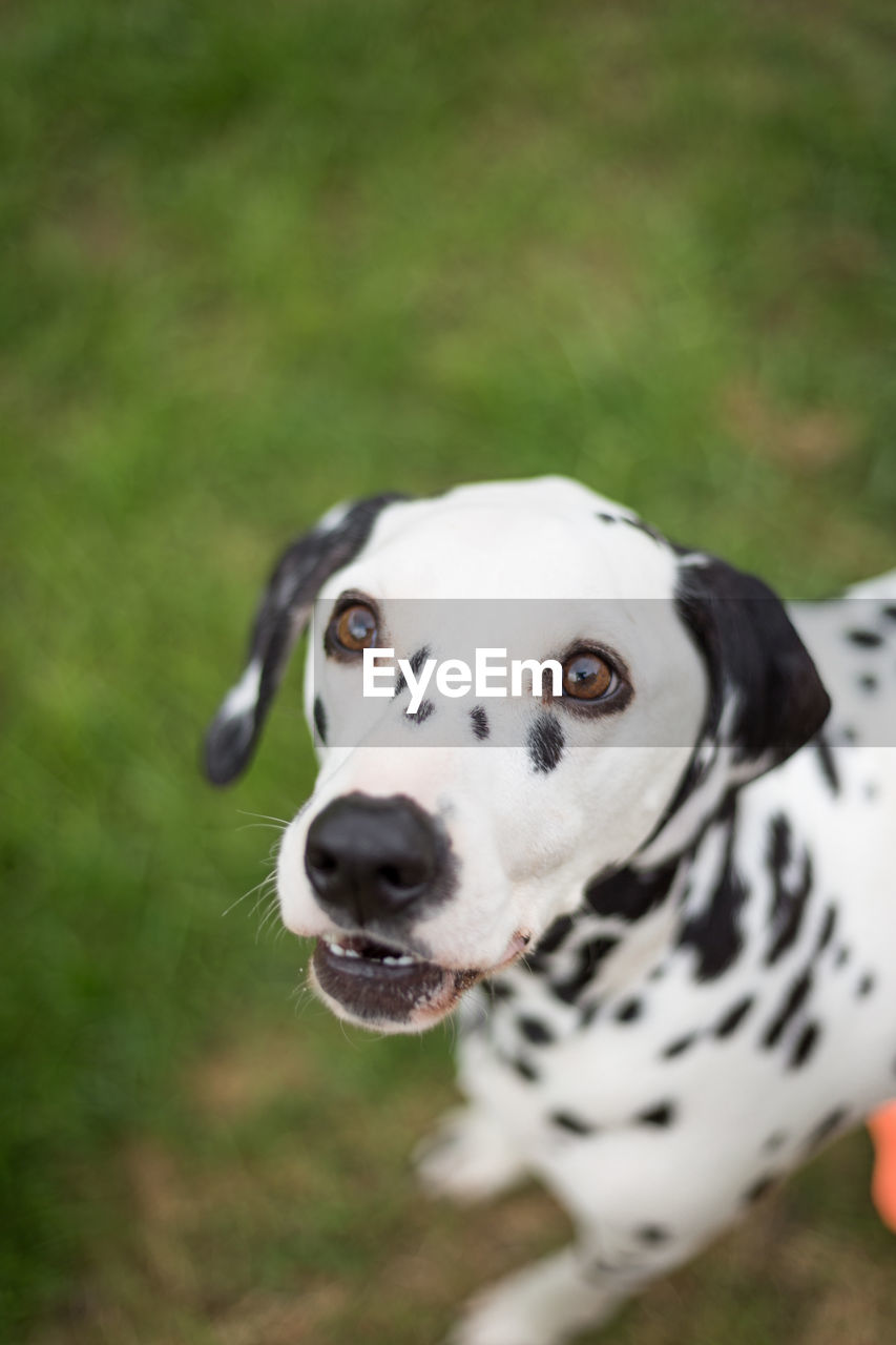 dog, canine, animal themes, one animal, domestic, pets, animal, mammal, domestic animals, dalmatian dog, vertebrate, focus on foreground, spotted, portrait, no people, looking at camera, animal body part, day, white color, looking, outdoors, animal head