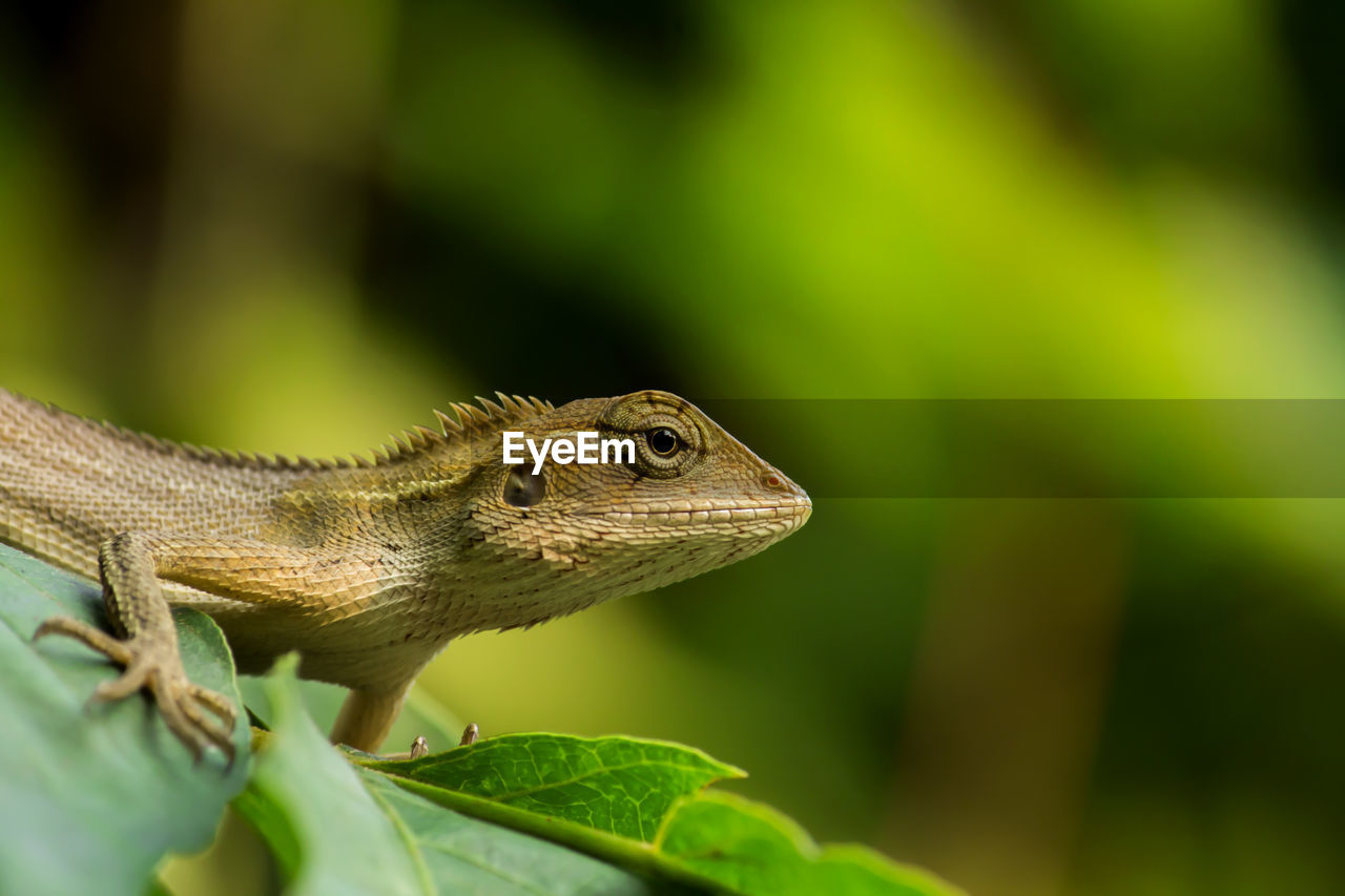 animal themes, one animal, animal wildlife, animal, animals in the wild, reptile, plant part, vertebrate, leaf, lizard, close-up, green color, no people, plant, nature, selective focus, focus on foreground, day, outdoors, looking away, animal scale