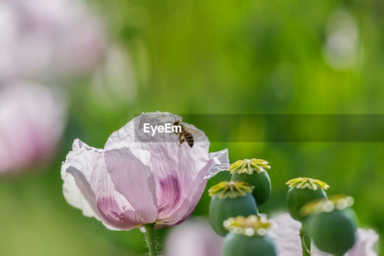 flowering plant, flower, vulnerability, fragility, beauty in nature, plant, petal, freshness, animals in the wild, growth, close-up, flower head, invertebrate, animal wildlife, insect, animal themes, animal, one animal, inflorescence, bee, no people, pollination, outdoors, purple
