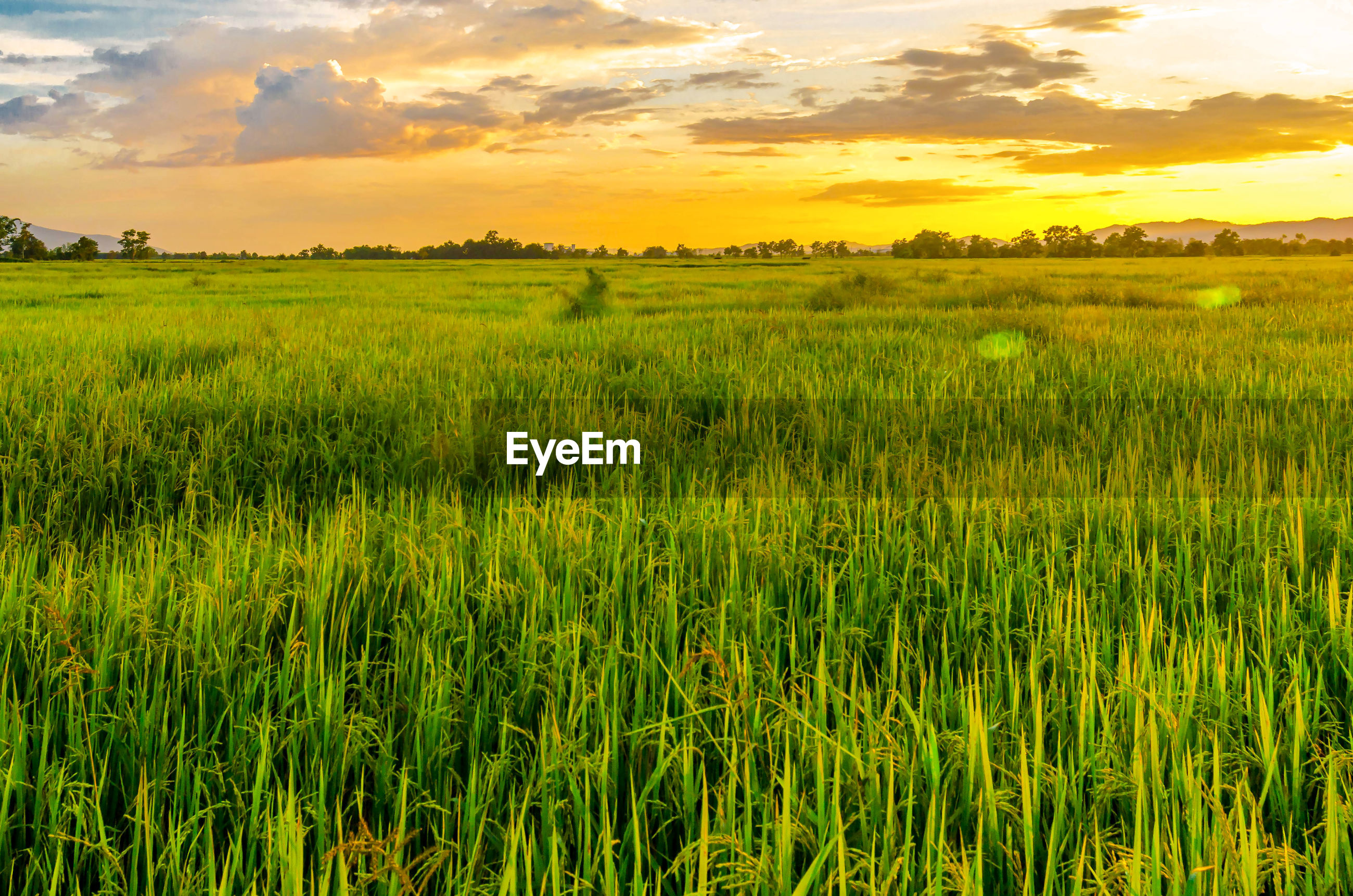 Scenic view of rice field against sky during sunset