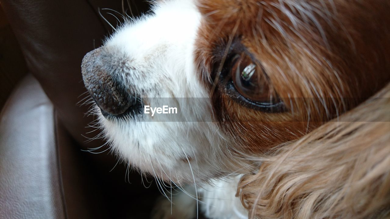 mammal, domestic, pets, domestic animals, one animal, animal themes, animal, vertebrate, dog, canine, close-up, indoors, animal body part, animal hair, hair, animal head, no people, focus on foreground, looking, home interior, animal eye, whisker, snout
