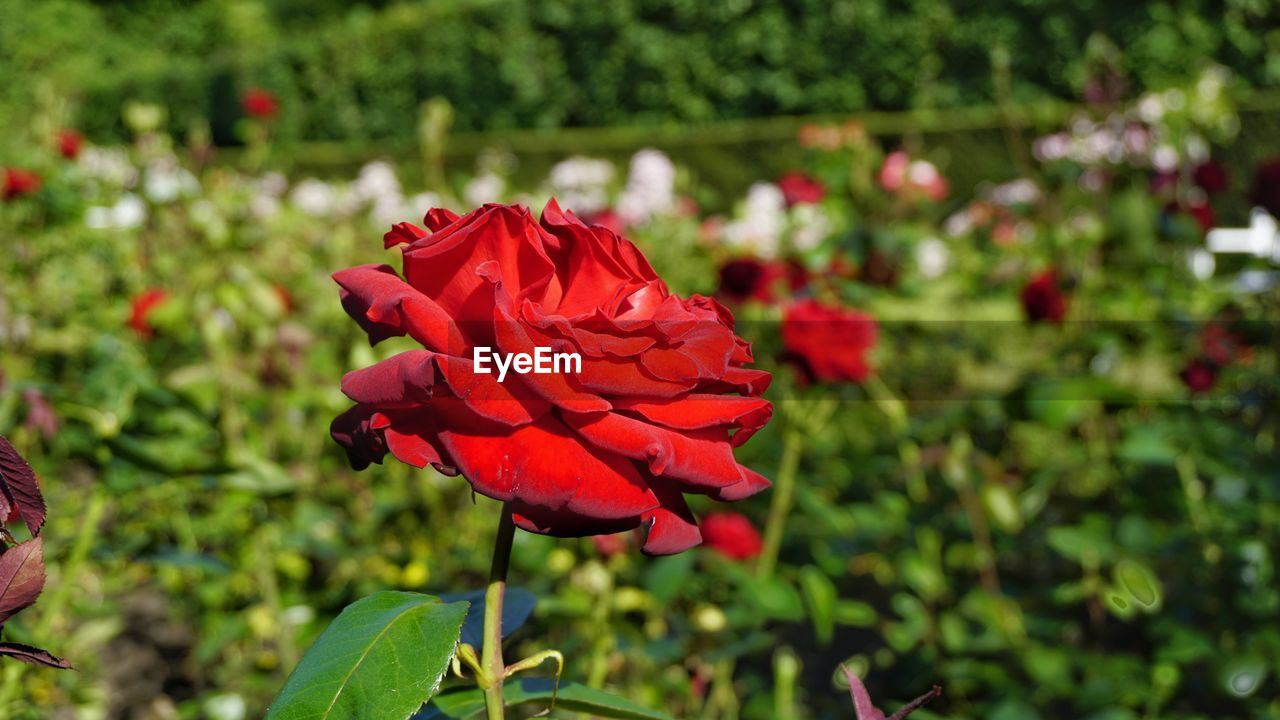 flower, growth, nature, red, petal, beauty in nature, fragility, plant, blooming, focus on foreground, freshness, no people, flower head, outdoors, day, close-up