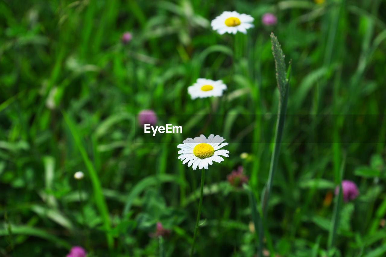 flower, fragility, petal, growth, freshness, beauty in nature, nature, flower head, blooming, plant, day, outdoors, yellow, green color, field, no people, close-up, cosmos flower
