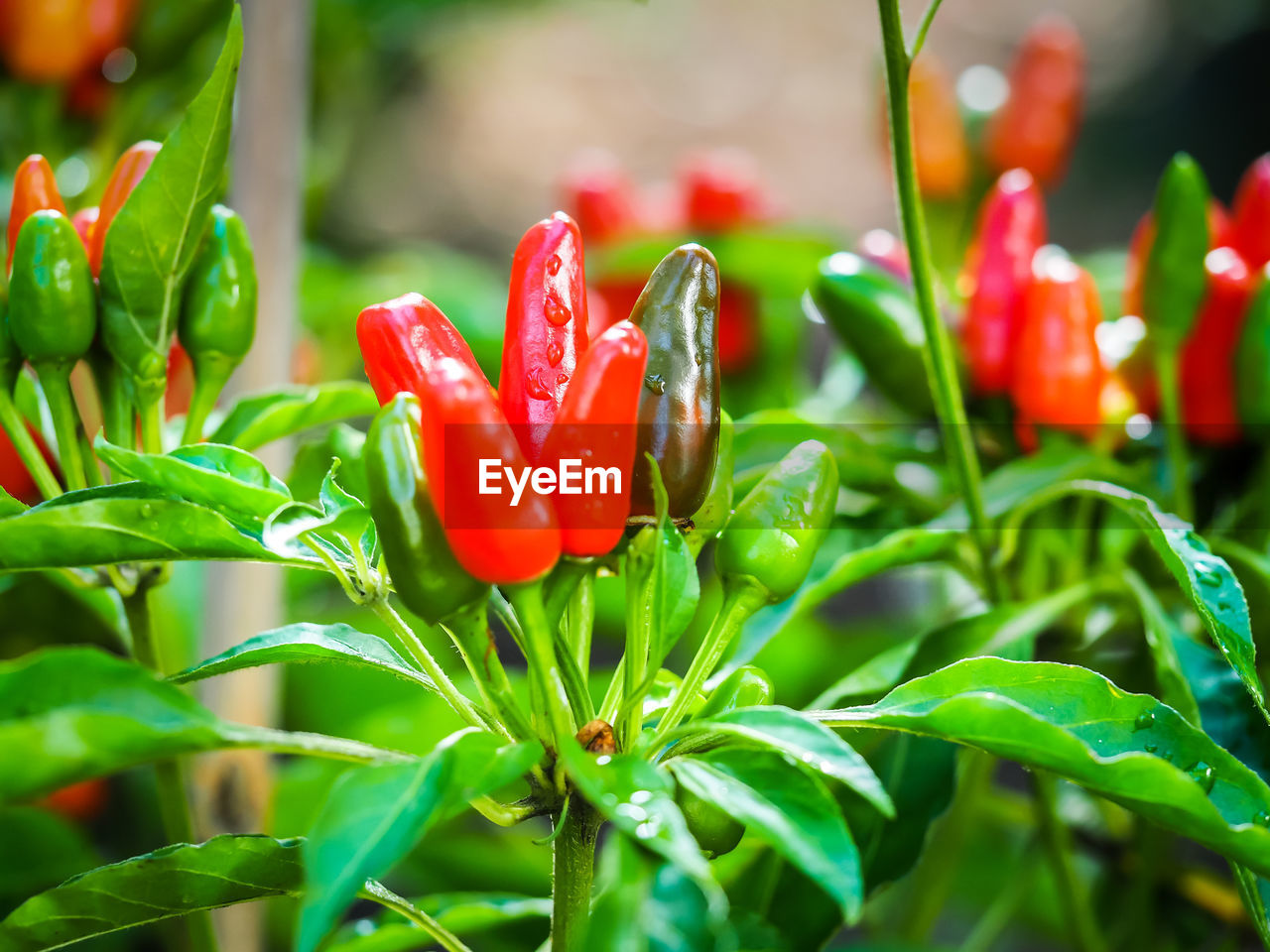 Close-up of chili peppers growing at vegetable garden