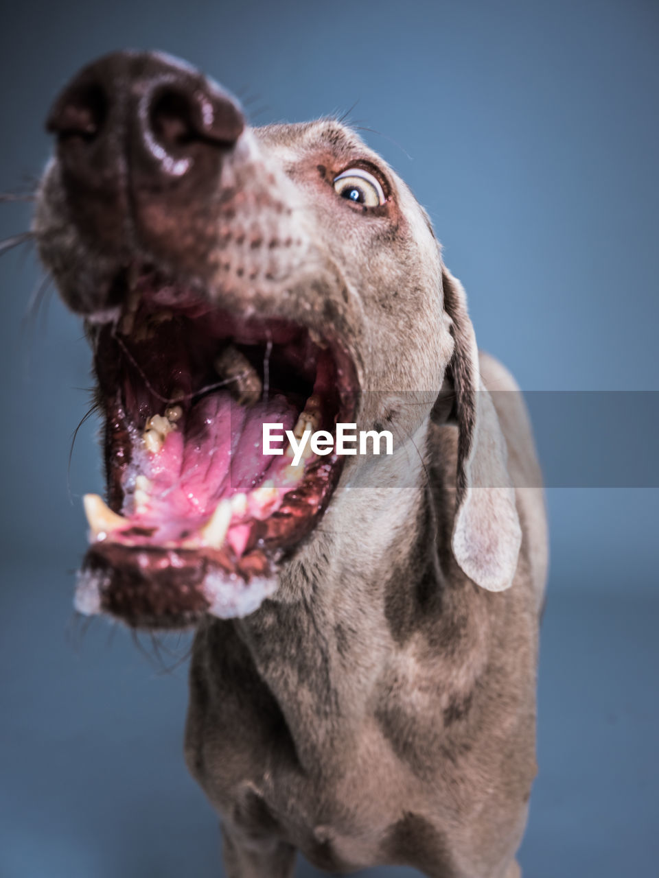 one animal, animal themes, animal, mammal, dog, canine, domestic animals, domestic, close-up, pets, vertebrate, animal body part, looking, mouth, no people, mouth open, focus on foreground, looking away, weimaraner, animal head, animal mouth, animal tongue, purebred dog, blue background, animal eye