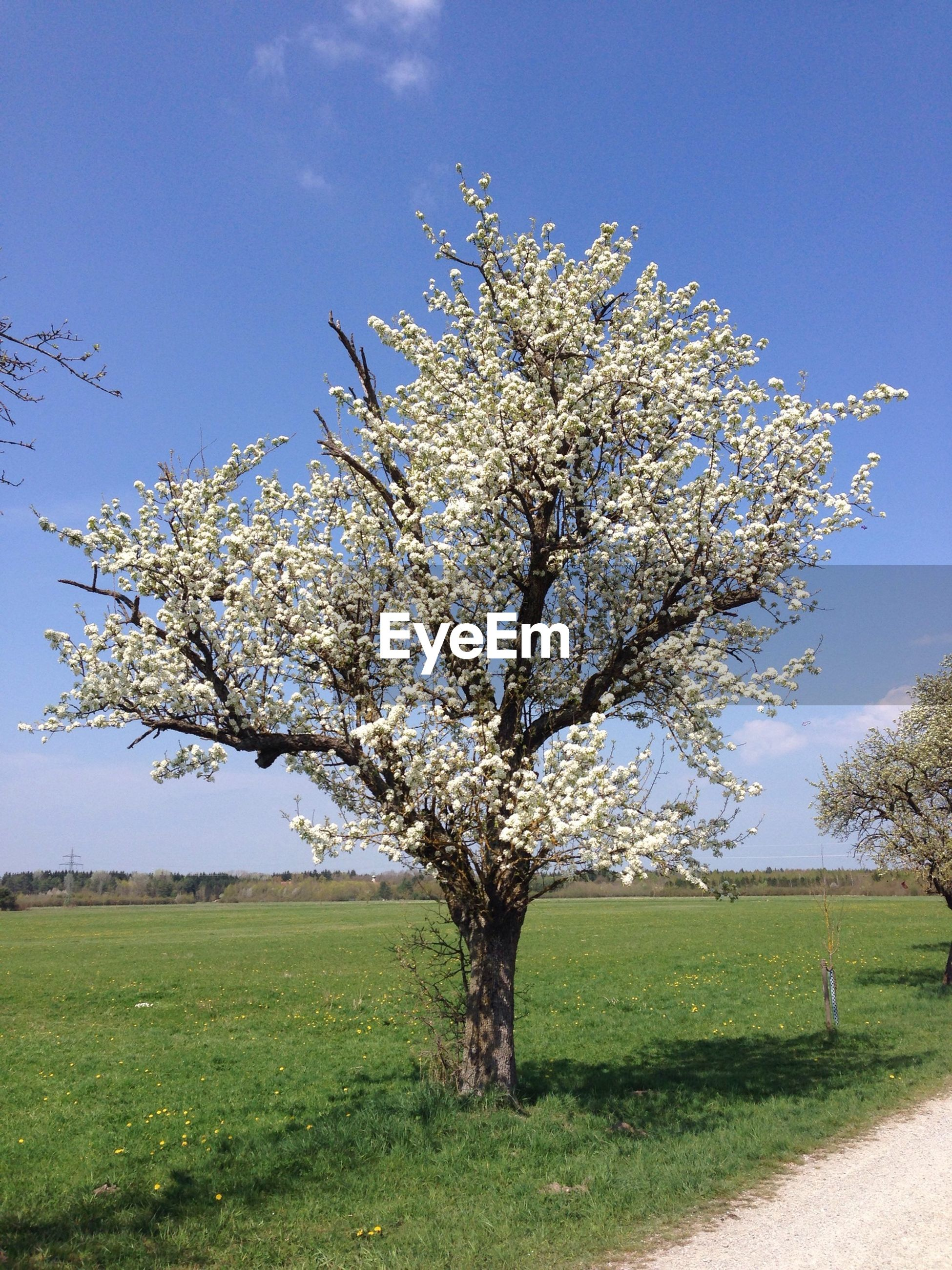 Tree with white blossom in field