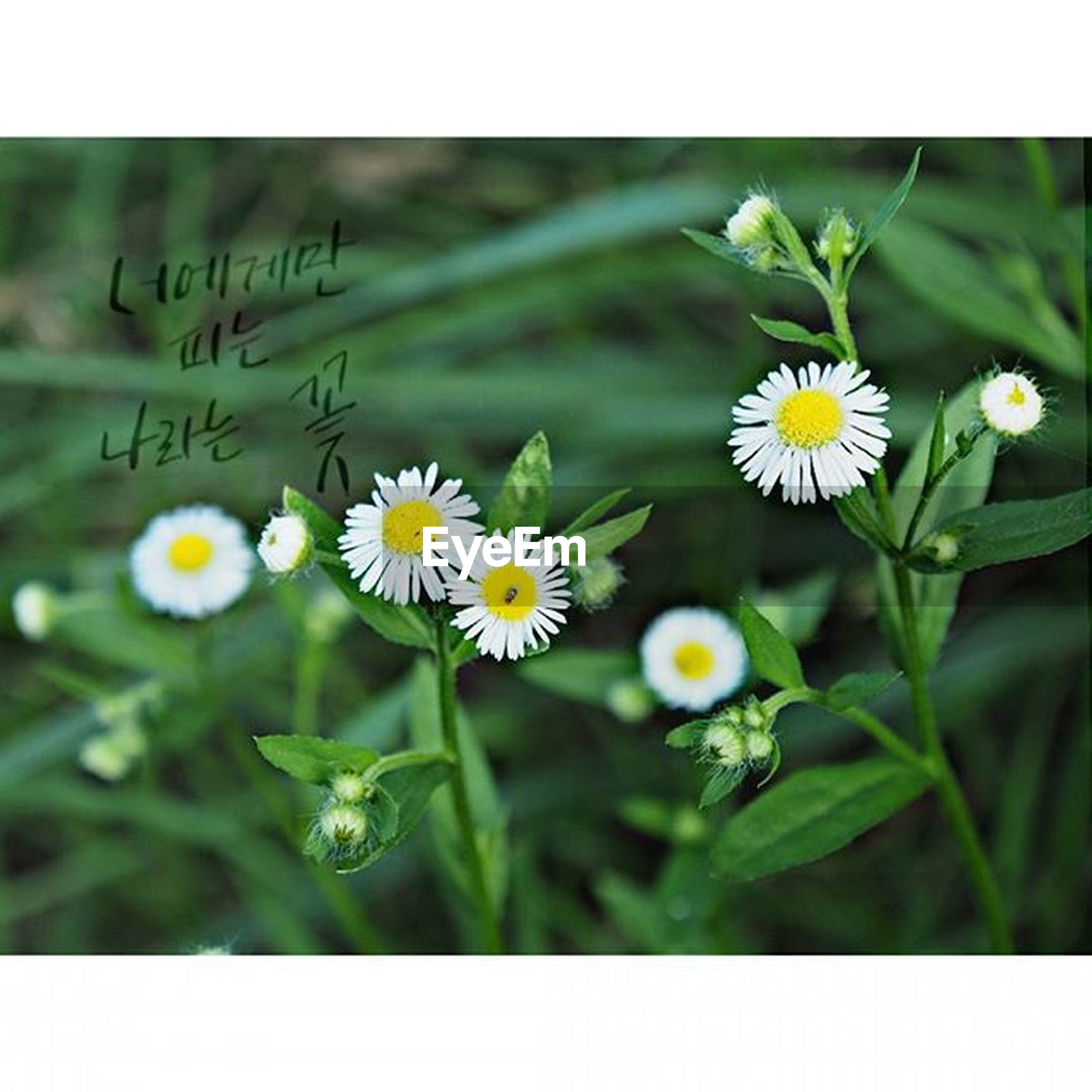 flower, freshness, fragility, petal, flower head, growth, daisy, yellow, transfer print, beauty in nature, white color, plant, blooming, nature, pollen, close-up, focus on foreground, field, auto post production filter, stem
