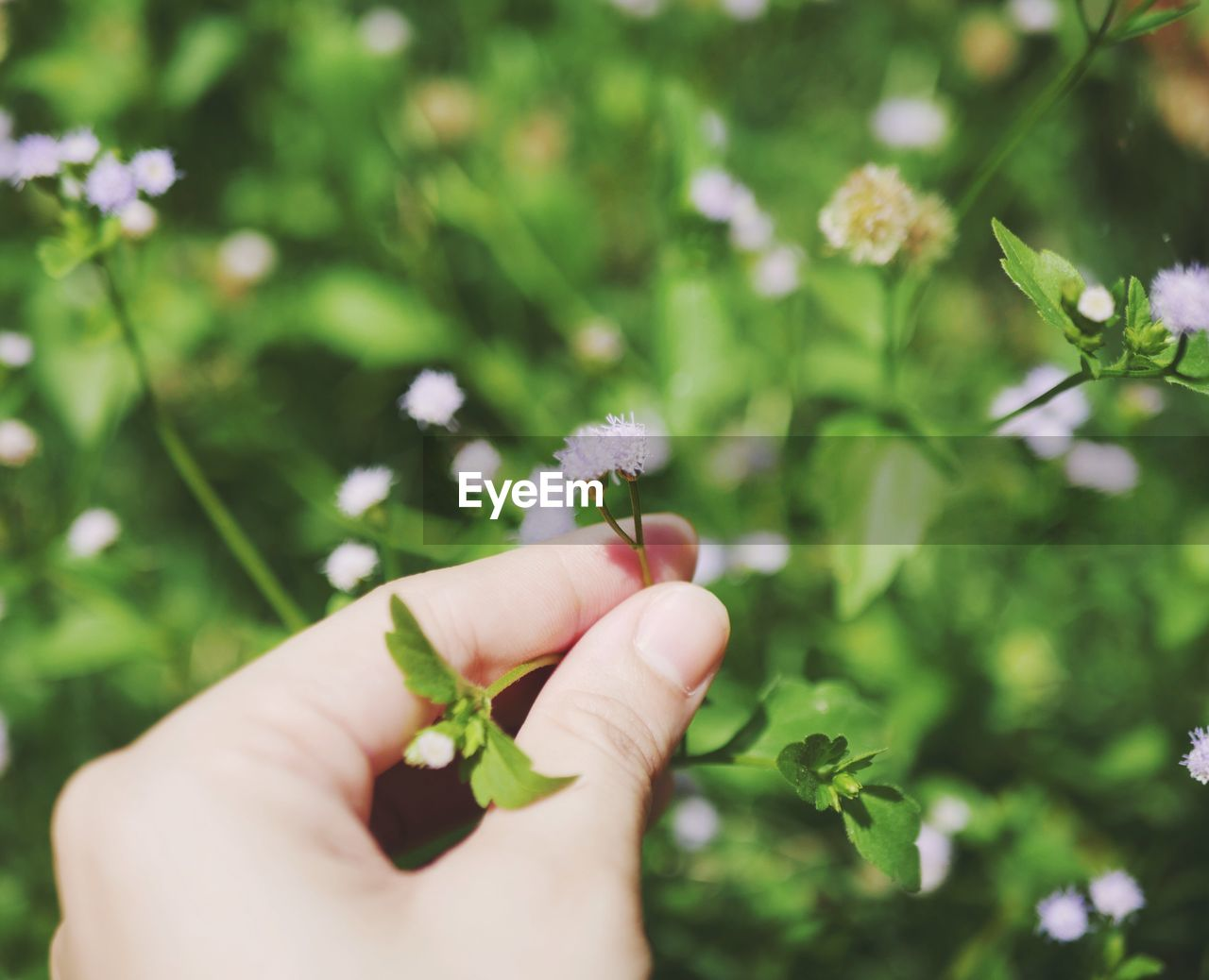 human hand, hand, plant, flower, flowering plant, holding, human body part, freshness, one person, vulnerability, fragility, focus on foreground, nature, day, body part, close-up, finger, beauty in nature, human finger, outdoors, flower head, small, human limb