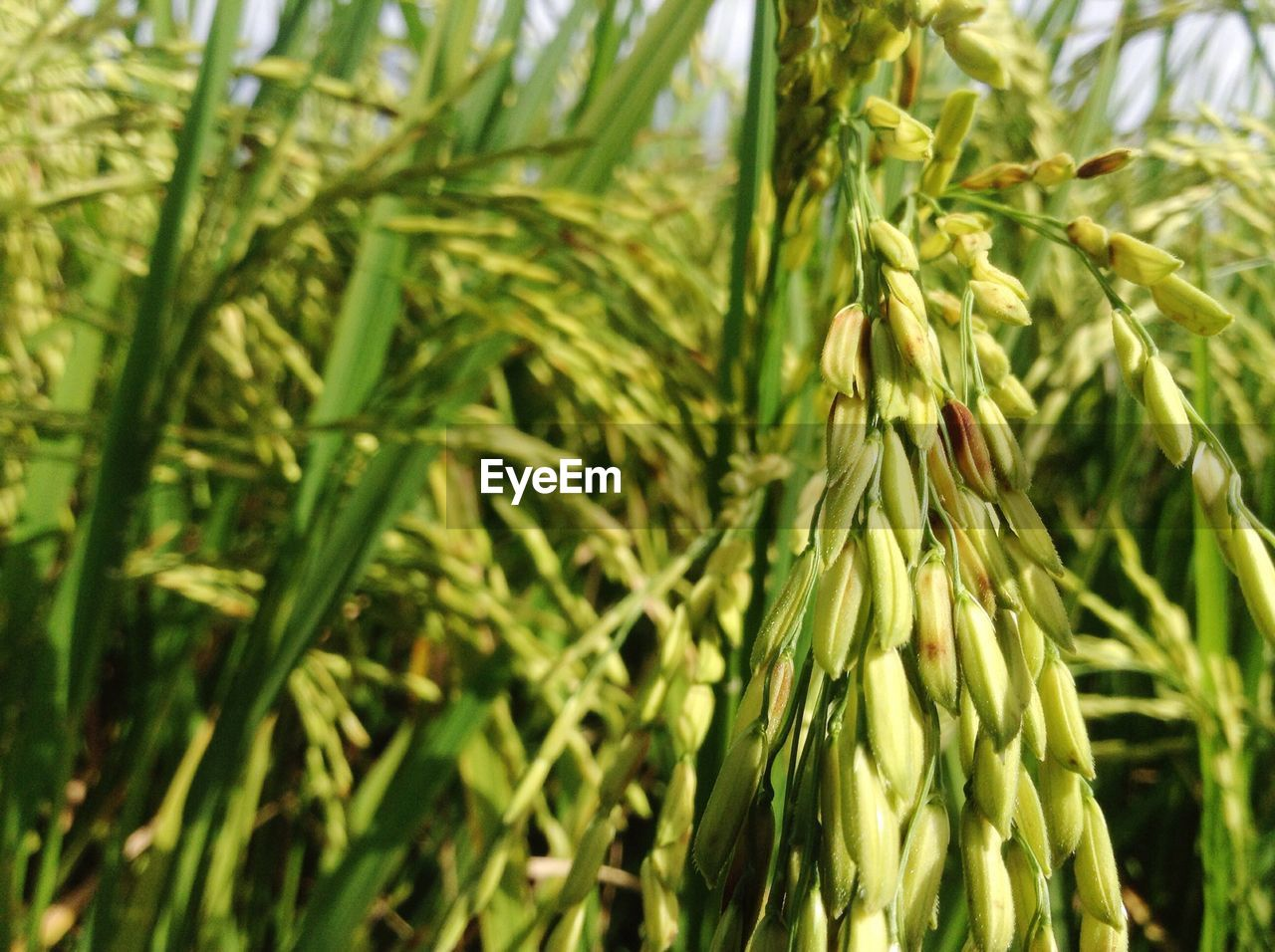 growth, crop, green color, agriculture, cereal plant, nature, ear of wheat, wheat, plant, field, close-up, day, no people, beauty in nature, outdoors, food, freshness