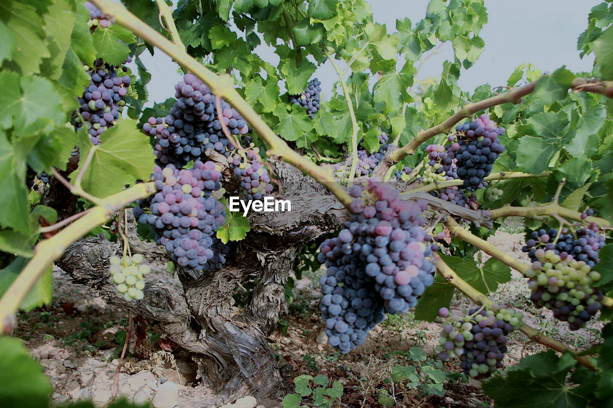 growth, freshness, plant, leaf, fruit, nature, flower, purple, beauty in nature, green color, growing, food and drink, close-up, food, hanging, day, stem, outdoors, healthy eating, tree