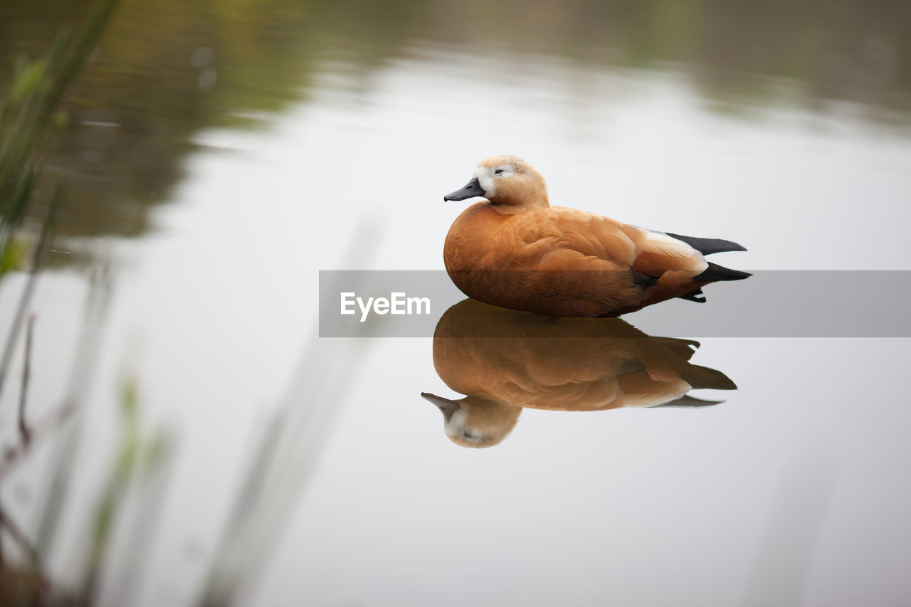 Brown duck on calm lake