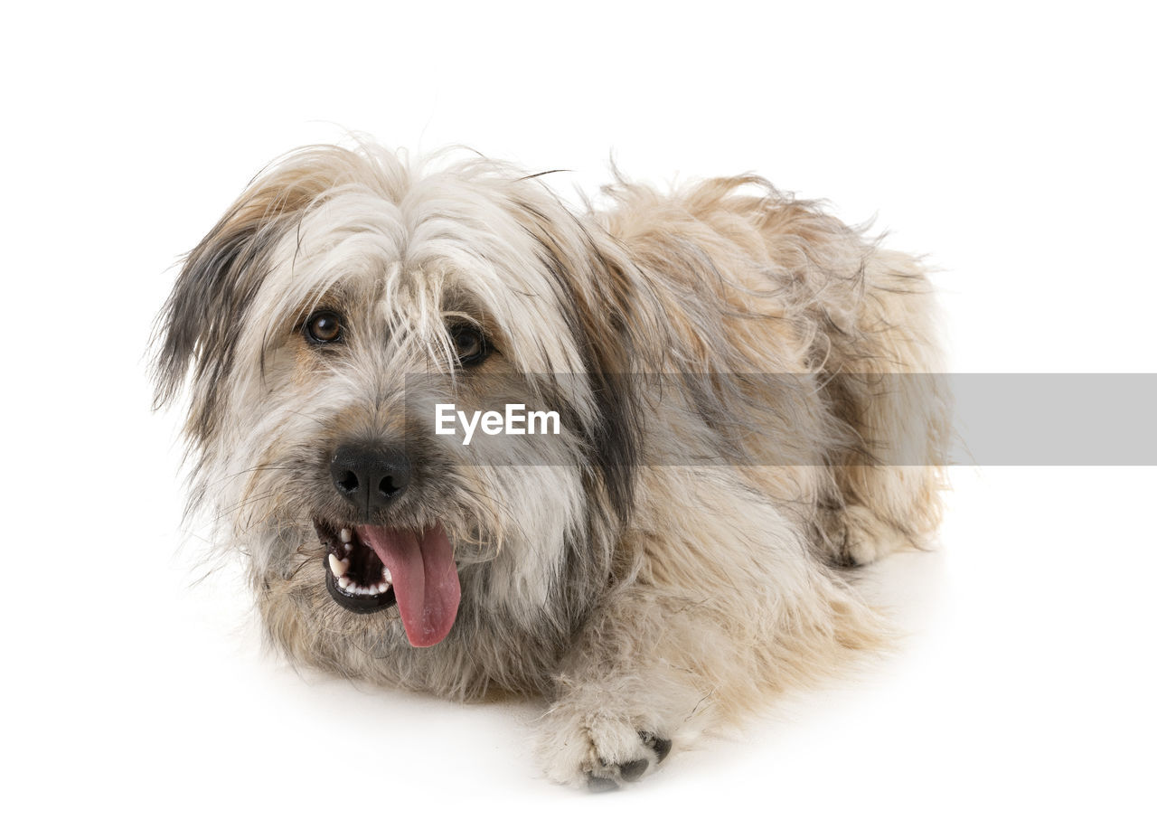 canine, pets, dog, one animal, domestic, domestic animals, mammal, animal themes, animal, studio shot, white background, animal hair, hair, indoors, portrait, cut out, vertebrate, looking at camera, animal body part, mouth, mouth open, animal head