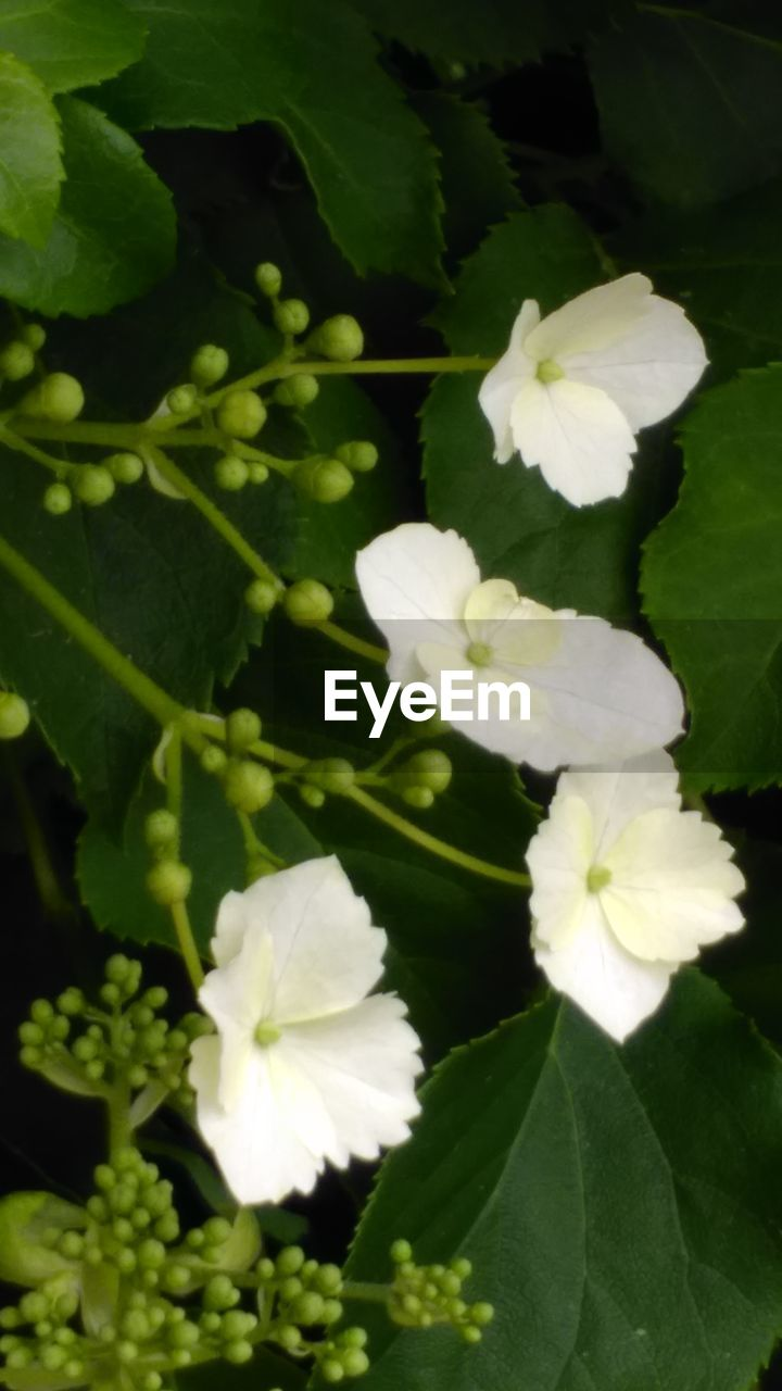 flower, white color, growth, beauty in nature, fragility, petal, nature, green color, freshness, plant, leaf, blooming, flower head, day, no people, outdoors, close-up, periwinkle
