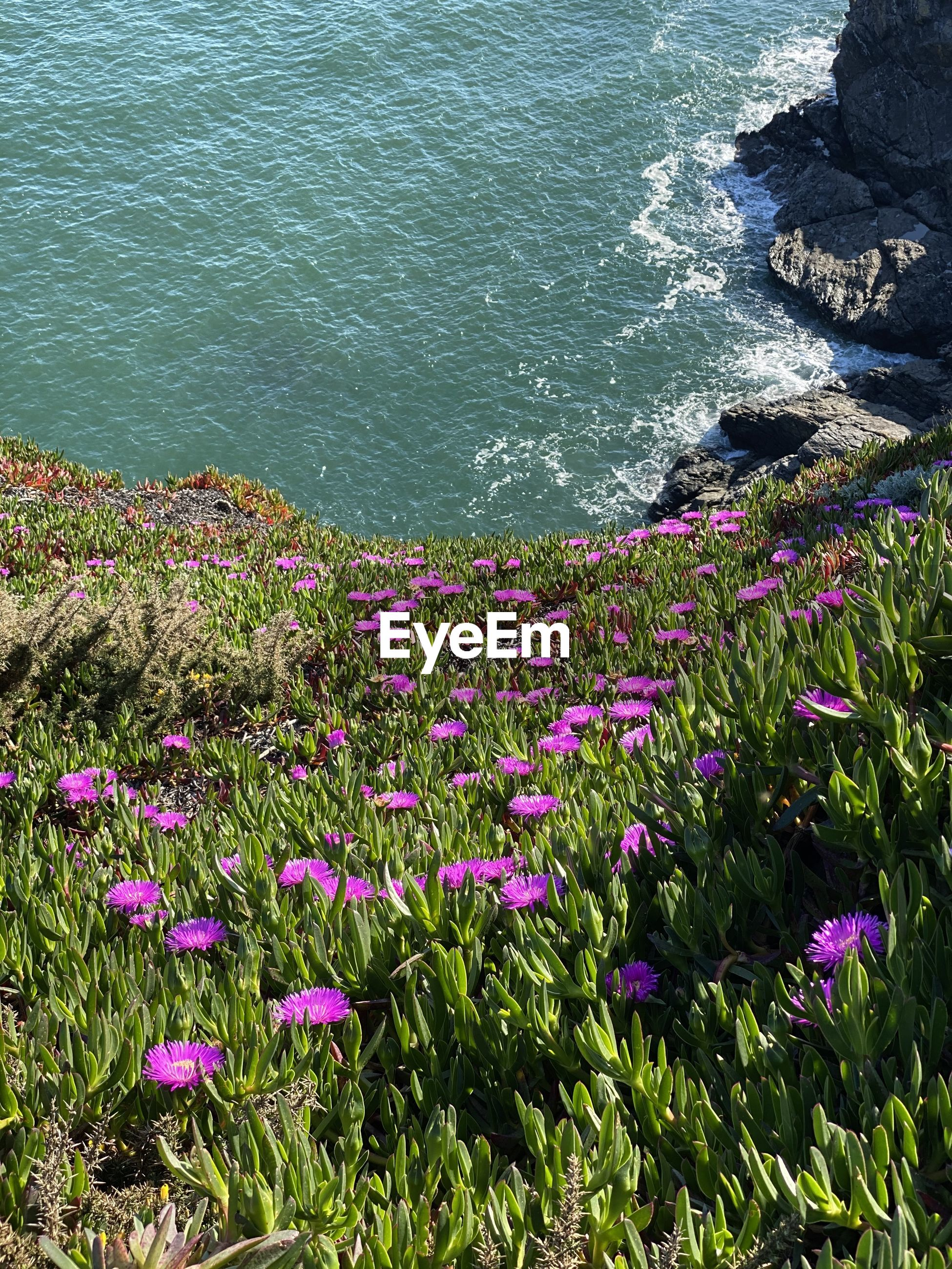 HIGH ANGLE VIEW OF PINK FLOWERING PLANTS AT SEA SHORE