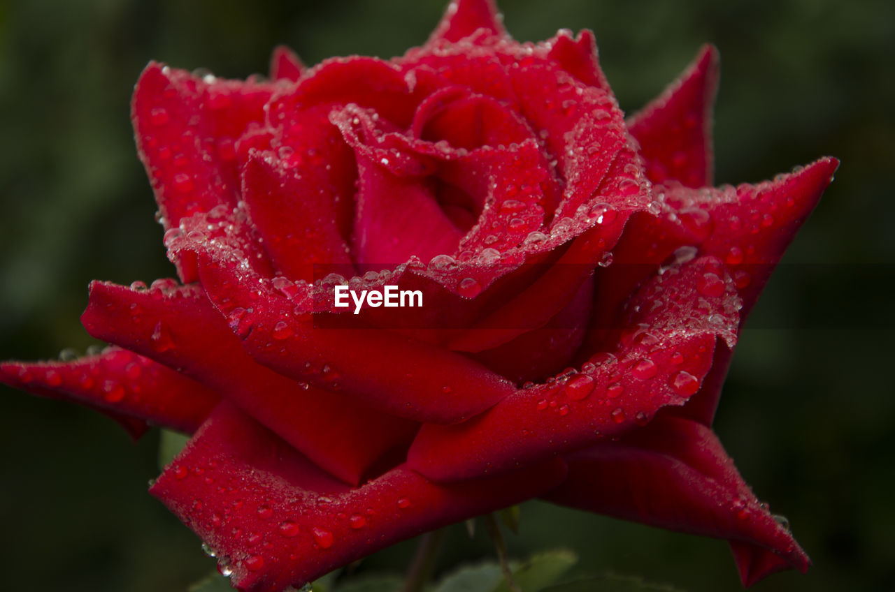 Close-up of wet red rose blooming outdoors