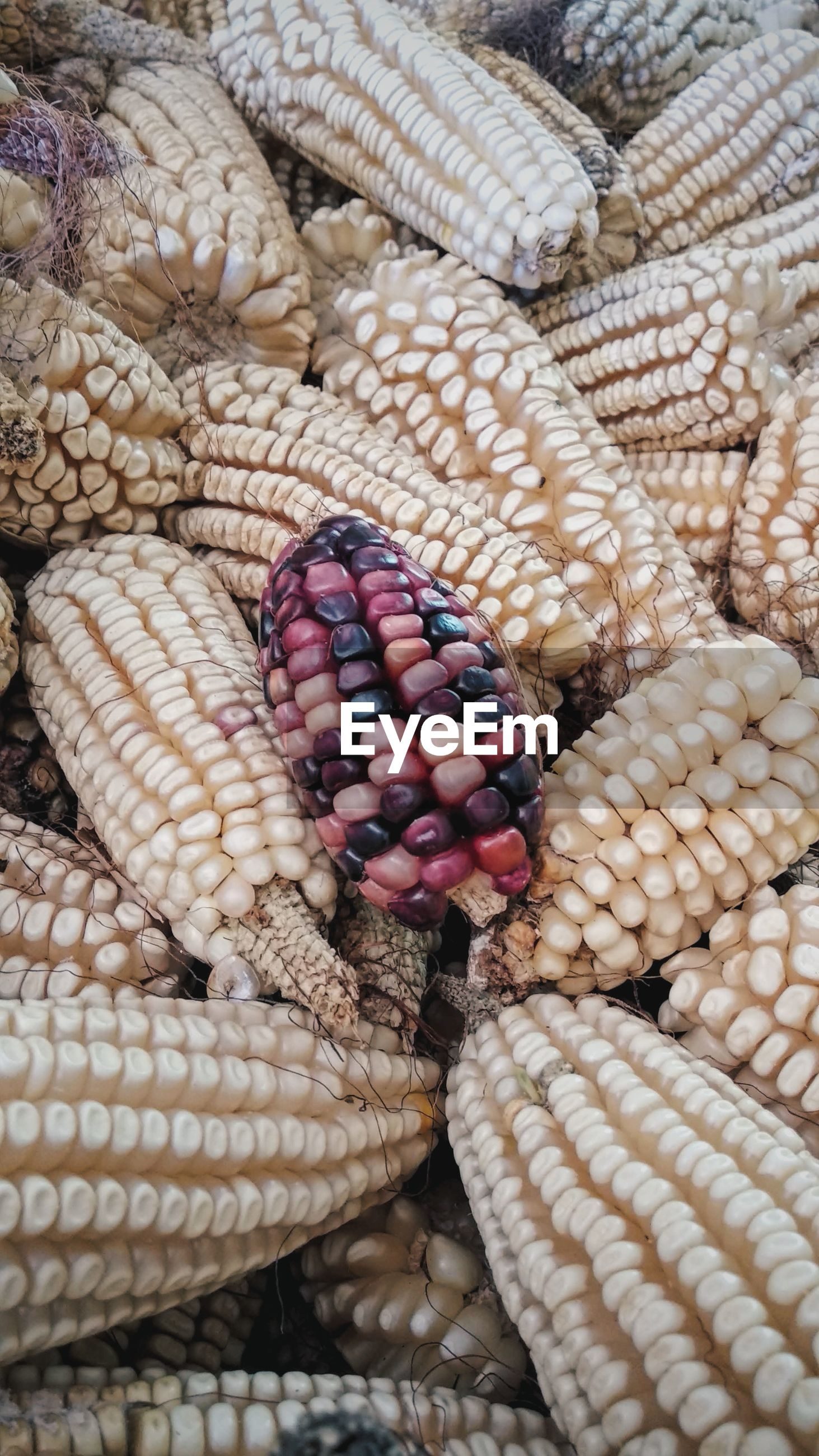 High angle view of maize
