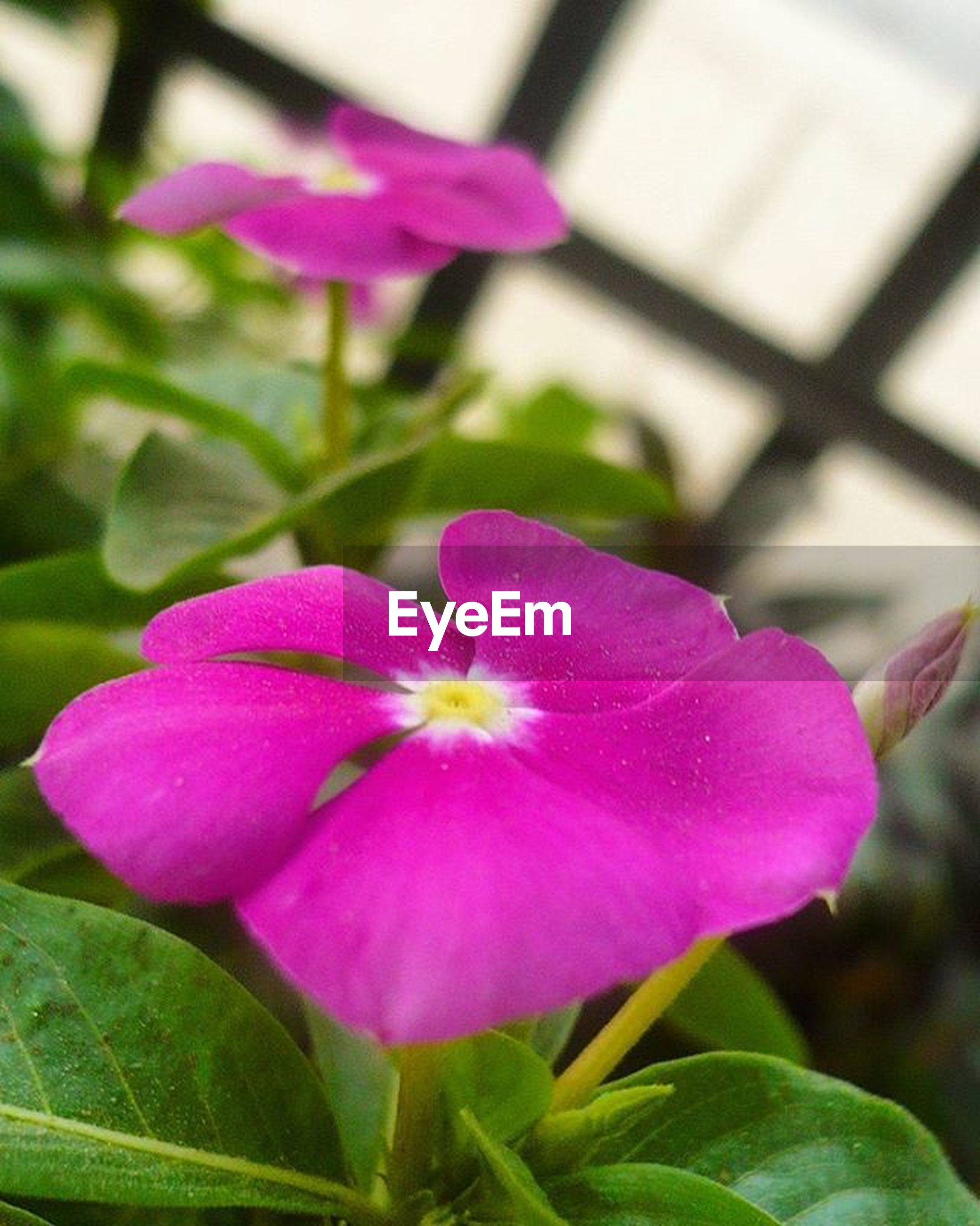 flower, freshness, petal, fragility, flower head, growth, pink color, beauty in nature, close-up, purple, leaf, focus on foreground, nature, blooming, plant, in bloom, pink, green color, day, blossom