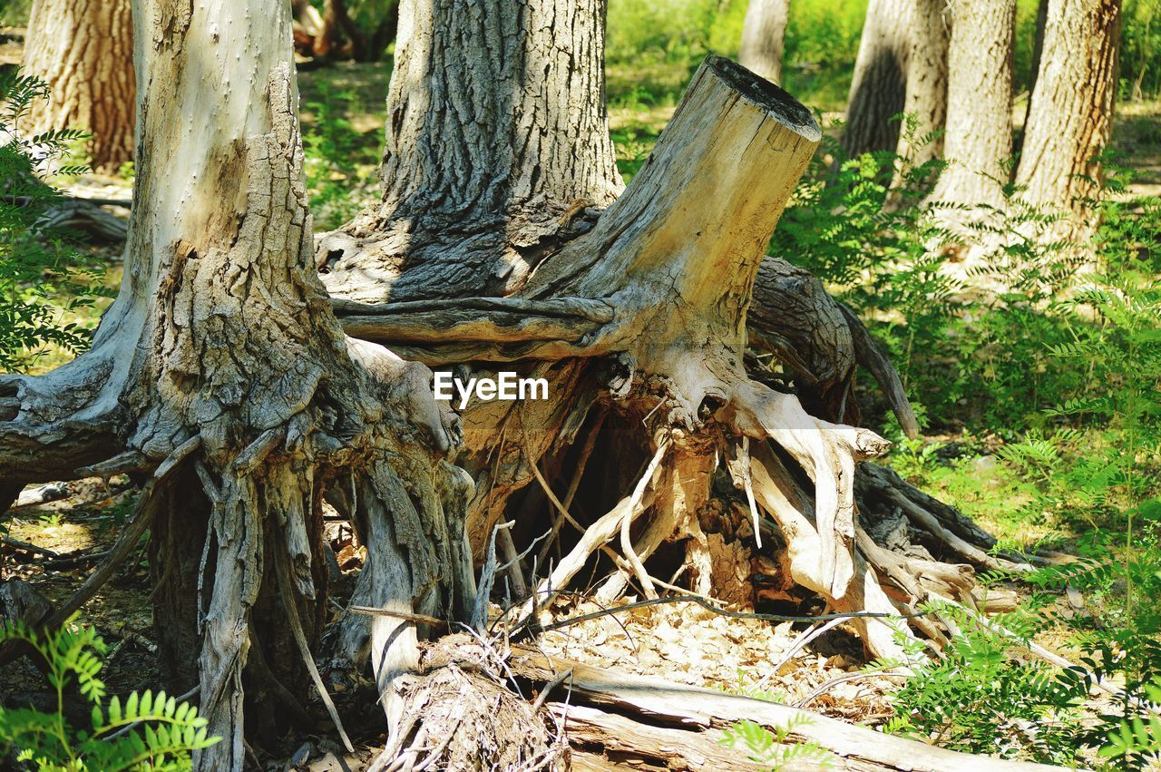 tree, plant, tree trunk, trunk, nature, day, forest, land, wood - material, no people, field, outdoors, growth, sunlight, animal, root, one animal, close-up, bark