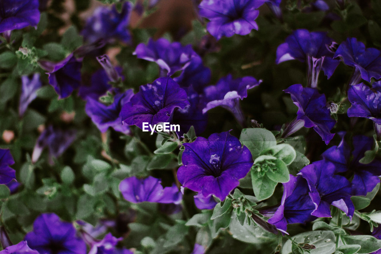 purple, flower, beauty in nature, petal, nature, fragility, growth, freshness, no people, plant, outdoors, day, flower head, blooming, close-up