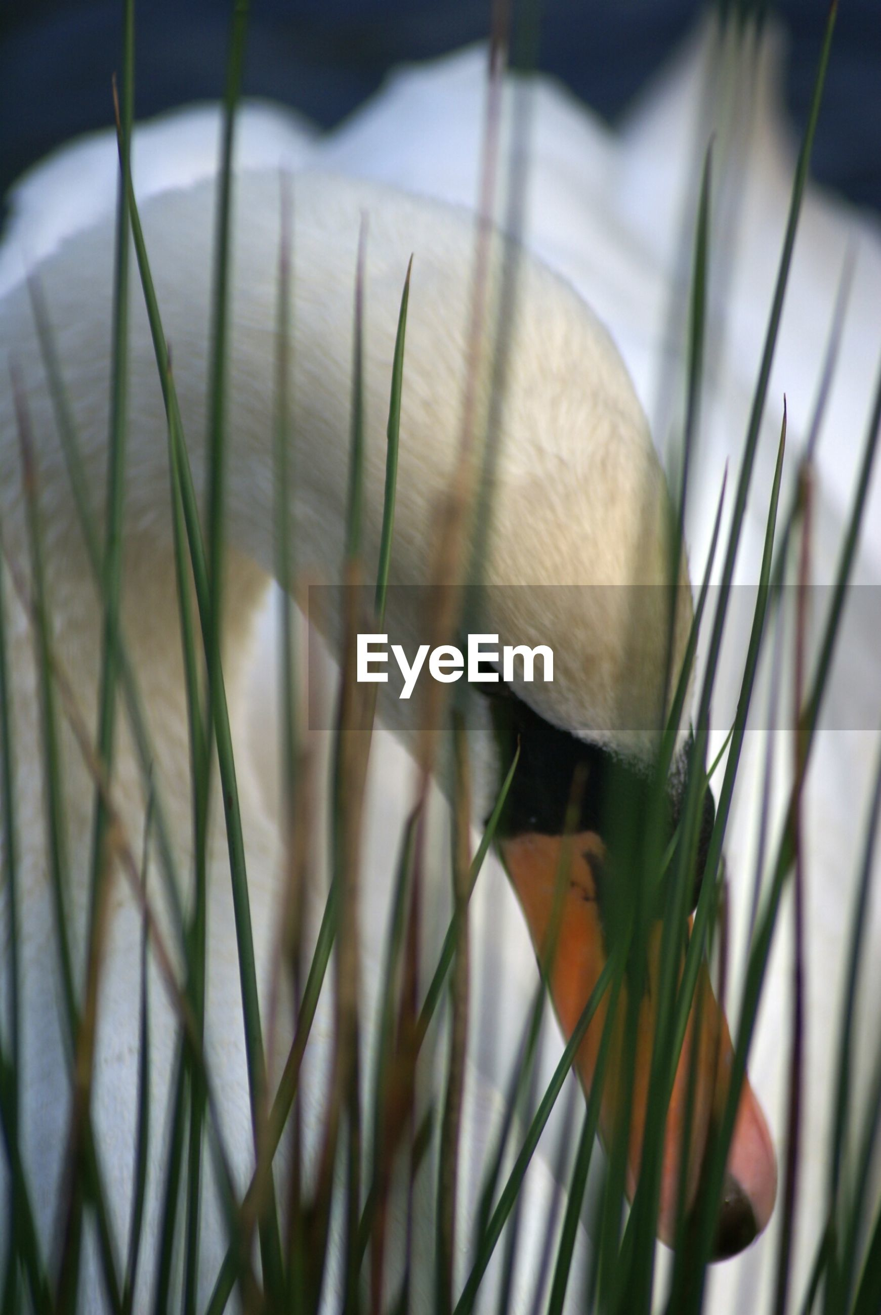 Close-up of swan in grass