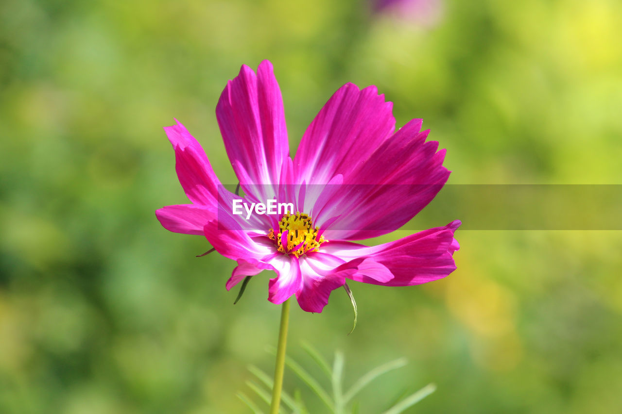 flowering plant, flower, vulnerability, fragility, freshness, beauty in nature, petal, flower head, plant, inflorescence, growth, pink color, close-up, pollen, nature, focus on foreground, no people, day, cosmos flower, outdoors, purple, pollination