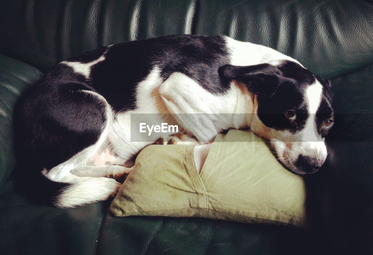 domestic, pets, domestic animals, mammal, one animal, dog, relaxation, canine, animal themes, vertebrate, animal, furniture, resting, sleeping, indoors, sofa, no people, lying down, comfortable, bed, animal head