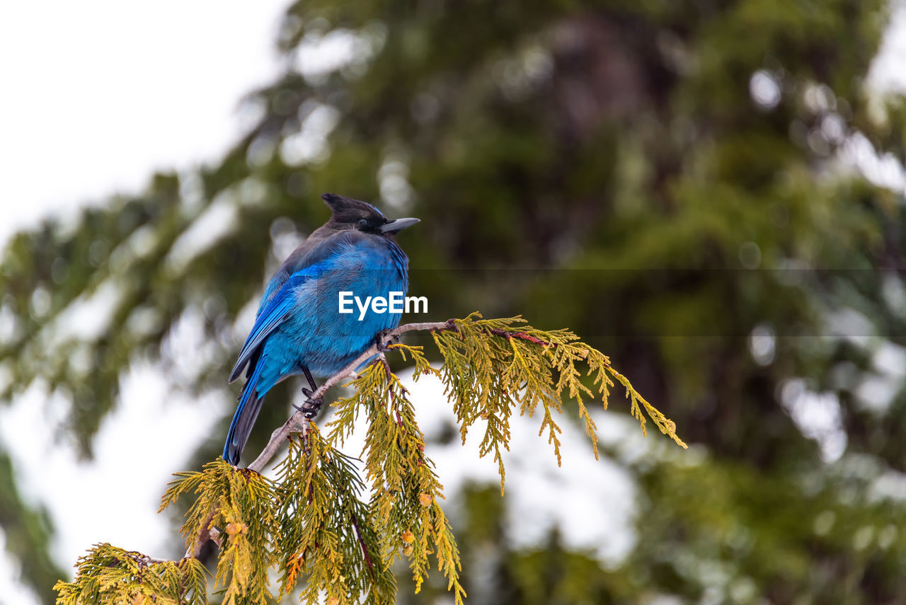 LOW ANGLE VIEW OF BIRD PERCHING ON BRANCH AGAINST BLURRED BACKGROUND