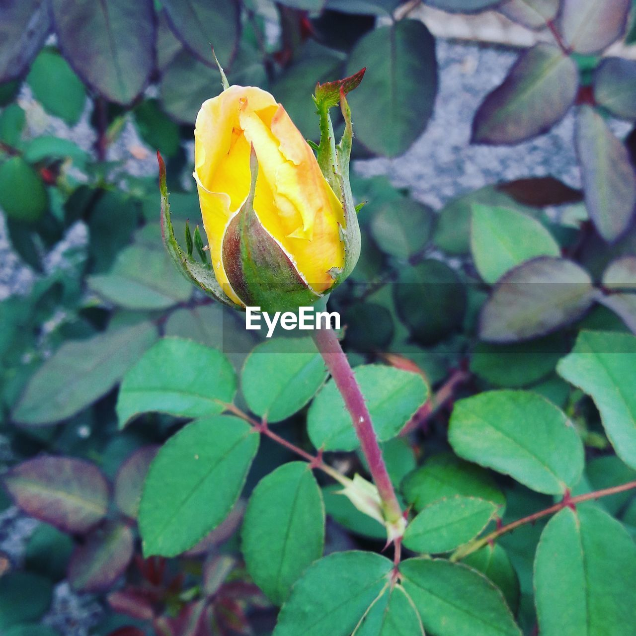 flower, nature, beauty in nature, fragility, leaf, plant, freshness, growth, petal, yellow, rose - flower, flower head, outdoors, close-up, day, drop, no people, green color, blooming, water