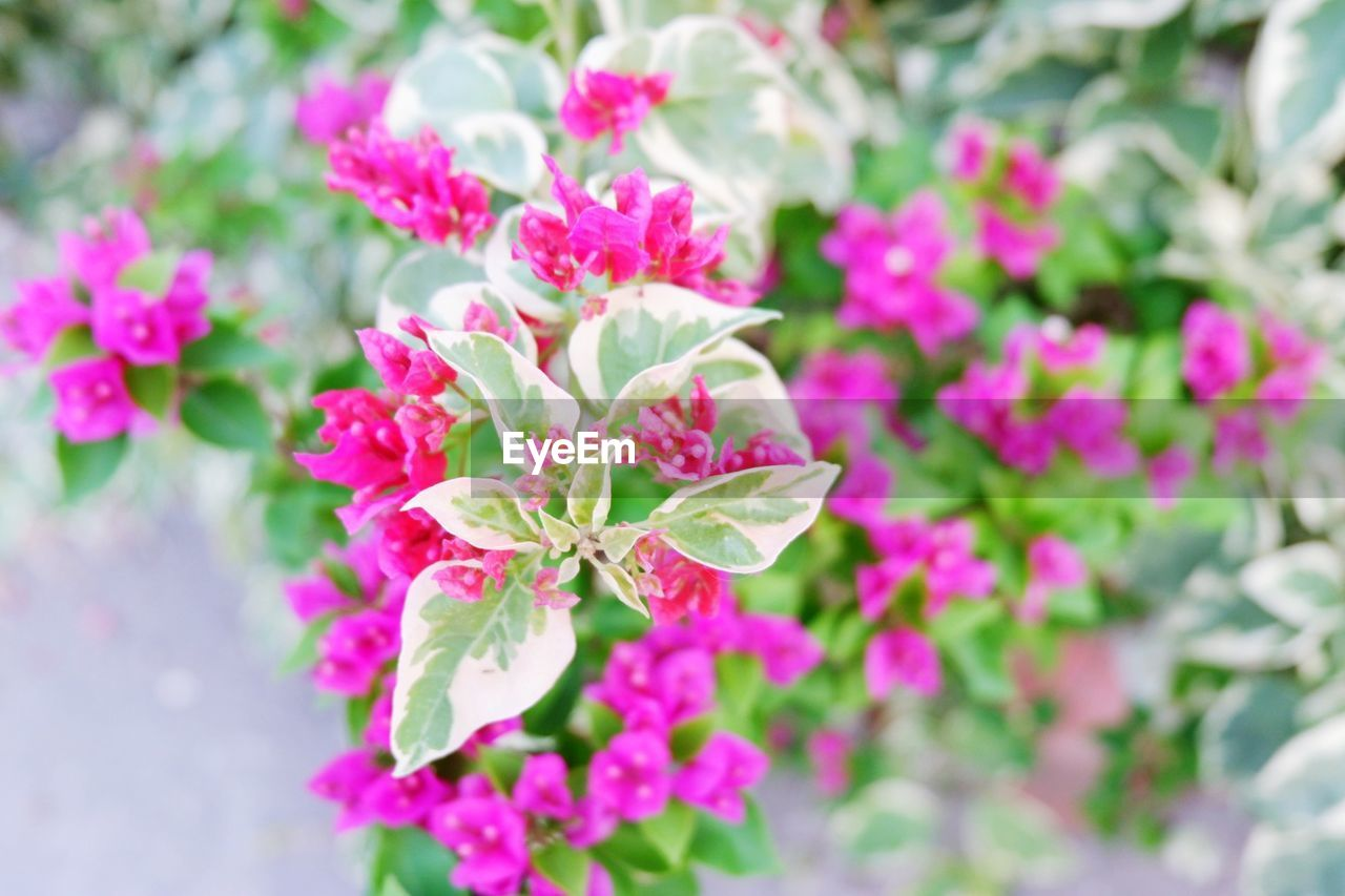 flowering plant, beauty in nature, flower, plant, growth, fragility, freshness, vulnerability, petal, close-up, selective focus, pink color, nature, plant part, no people, leaf, day, inflorescence, flower head, outdoors, springtime, lilac