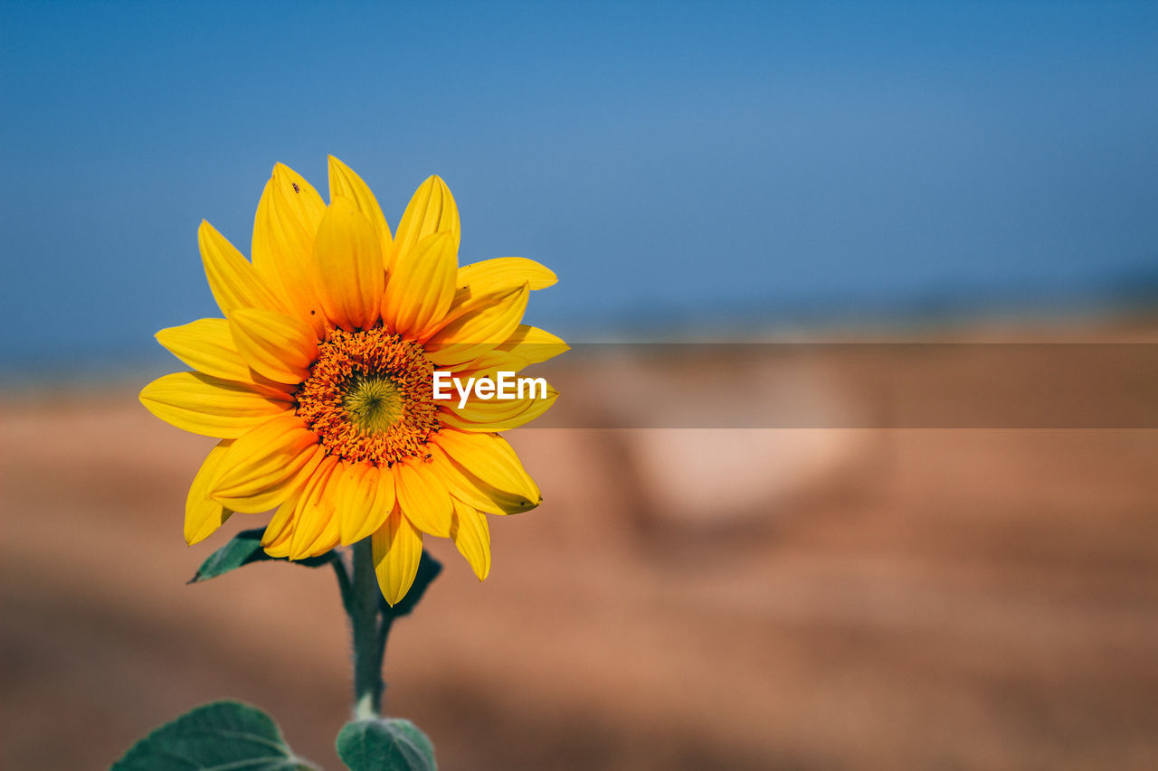 flower, flowering plant, fragility, vulnerability, beauty in nature, yellow, plant, freshness, growth, flower head, petal, focus on foreground, close-up, inflorescence, nature, day, land, sky, pollen, outdoors, sunflower