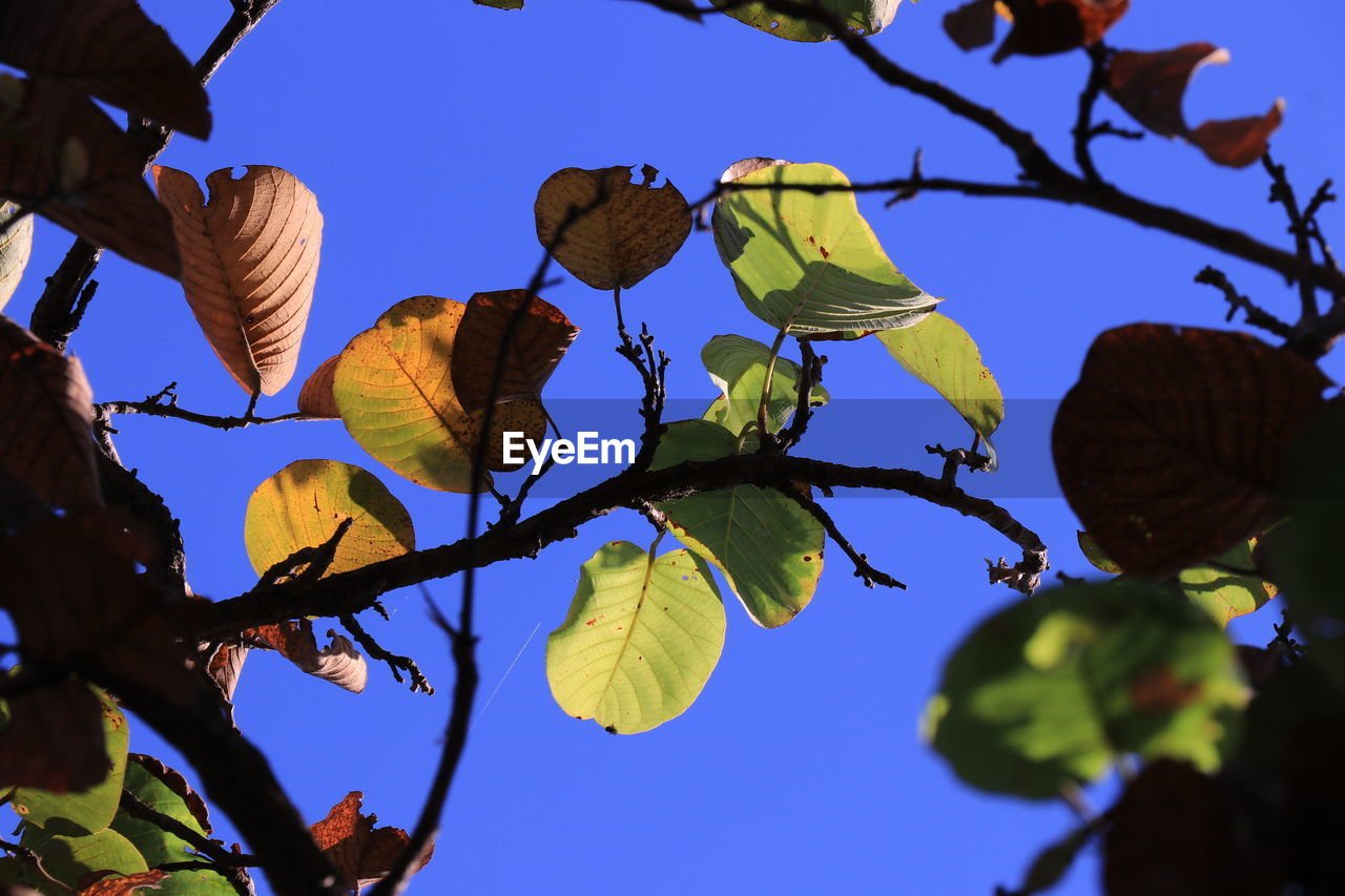 sky, leaf, plant, low angle view, plant part, nature, beauty in nature, growth, tree, no people, branch, close-up, blue, clear sky, day, tranquility, outdoors, focus on foreground, sunlight, freshness, leaves
