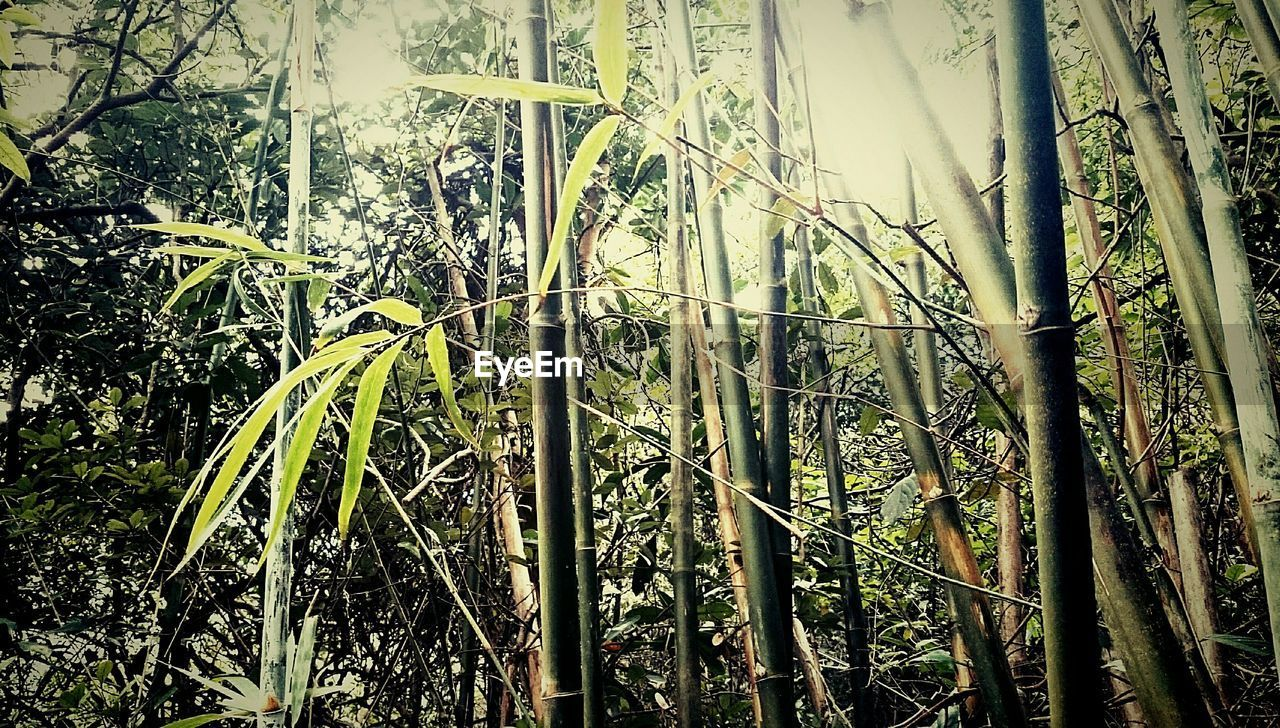 growth, nature, forest, tree, no people, tree trunk, outdoors, beauty in nature, tranquility, day, bamboo grove, bamboo - plant, low angle view, plant, green color, close-up, sky