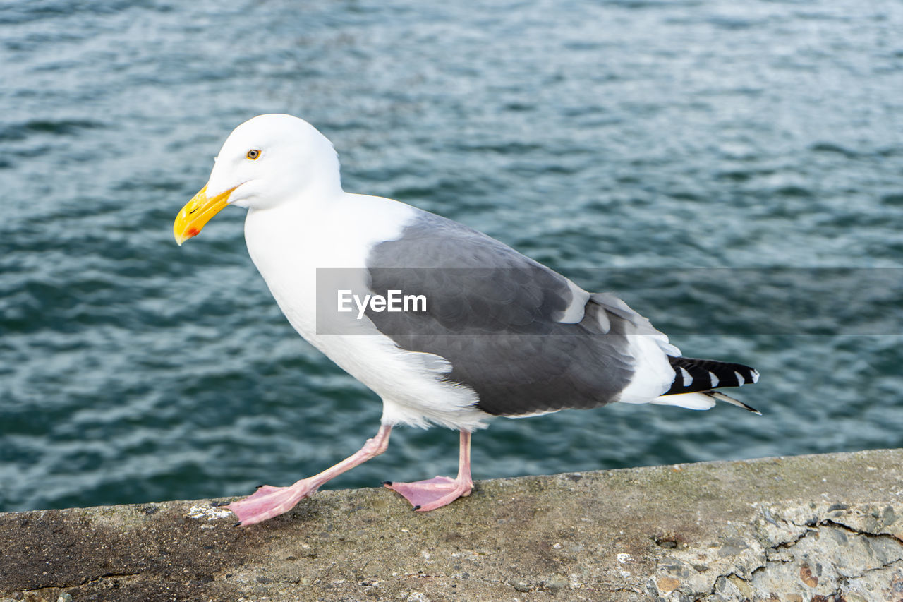 bird, animals in the wild, animal, vertebrate, animal themes, animal wildlife, one animal, water, seagull, focus on foreground, day, perching, no people, sea, nature, side view, white color, close-up, outdoors