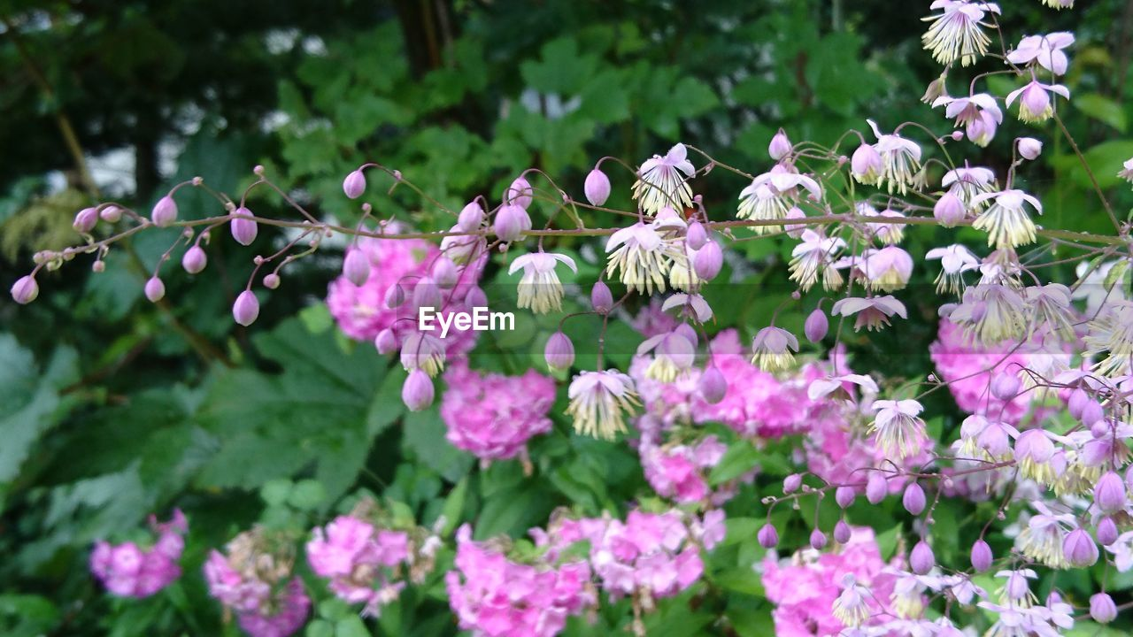 flowering plant, flower, plant, growth, beauty in nature, freshness, fragility, vulnerability, petal, pink color, close-up, flower head, nature, day, inflorescence, no people, plant part, selective focus, leaf, botany, outdoors, springtime, purple, pollination