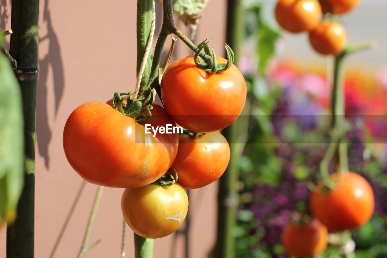 CLOSE-UP OF ORANGE FRUITS HANGING ON PLANT