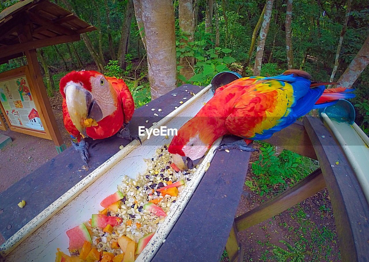 Multi Colored Macaws Eating Food On Table In Forest