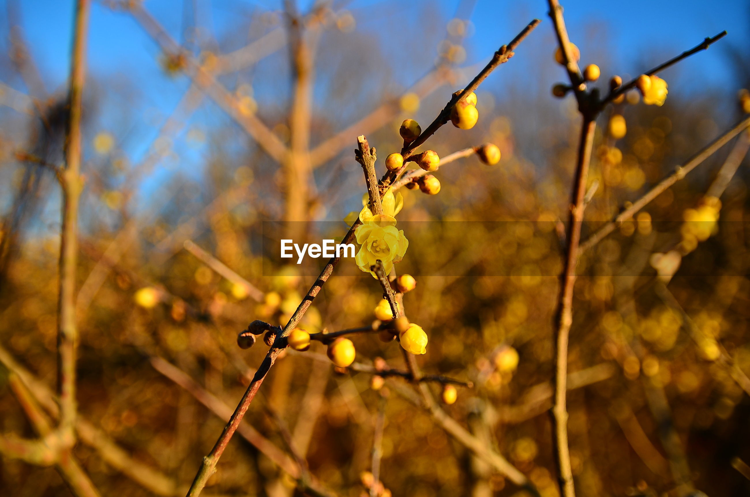 focus on foreground, close-up, growth, dry, nature, branch, twig, selective focus, field, plant, stem, tranquility, yellow, outdoors, sunlight, no people, sky, barbed wire, day, agriculture