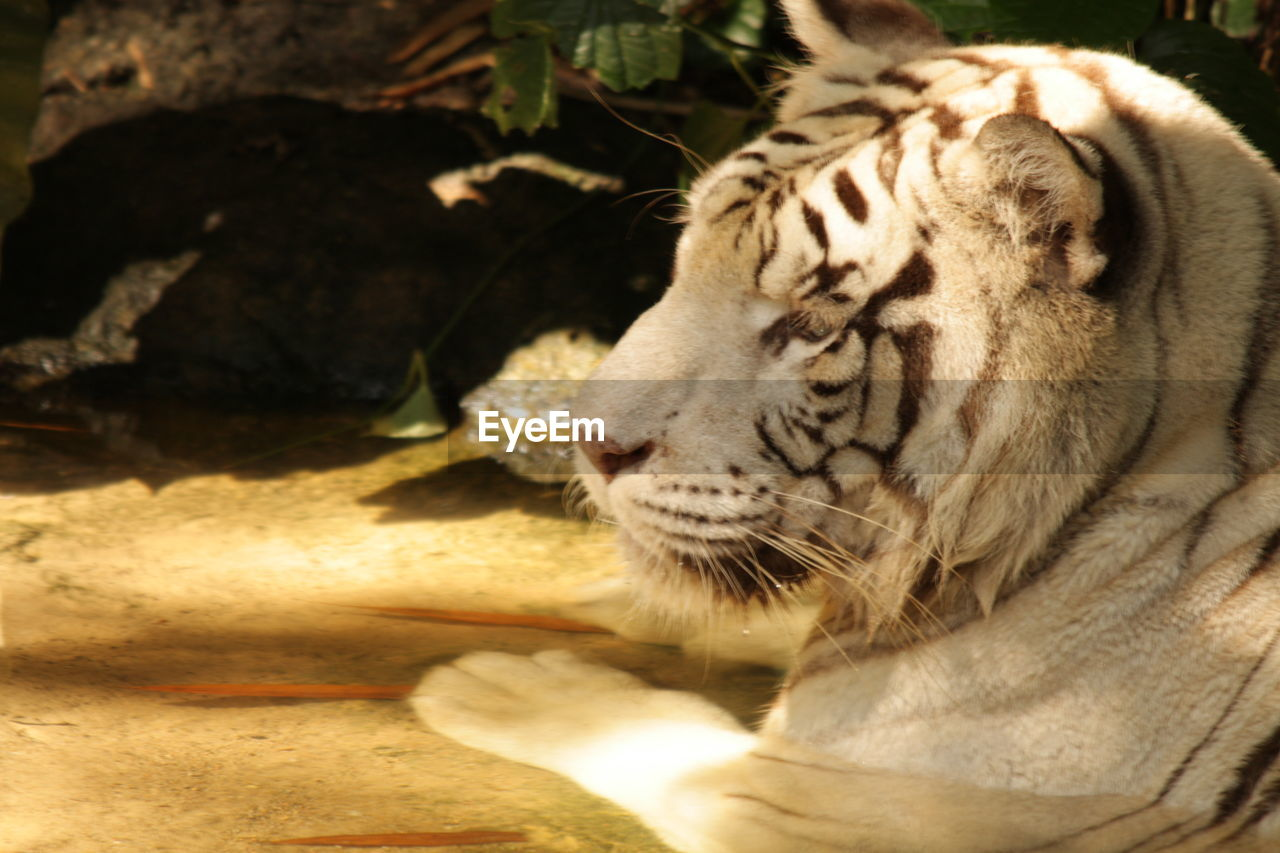 animal themes, one animal, animal, mammal, animal wildlife, animals in the wild, big cat, feline, tiger, cat, vertebrate, day, no people, nature, endangered species, carnivora, zoo, animals in captivity, white tiger, outdoors, animal head, whisker, undomesticated cat