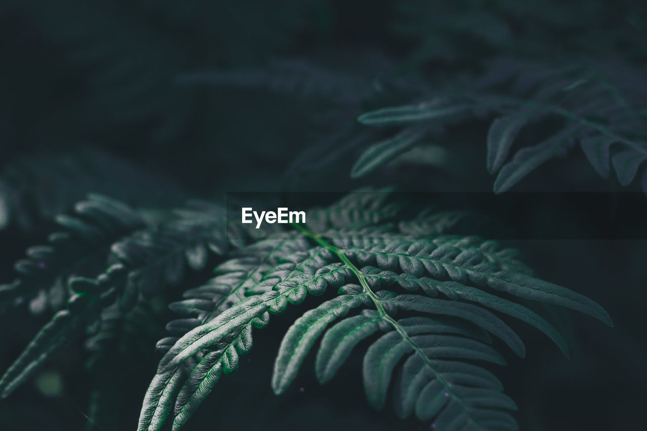 green color, plant, growth, leaf, plant part, close-up, no people, nature, selective focus, beauty in nature, fern, day, tree, freshness, outdoors, focus on foreground, pine tree, needle - plant part, tranquility, pinaceae, coniferous tree, fir tree