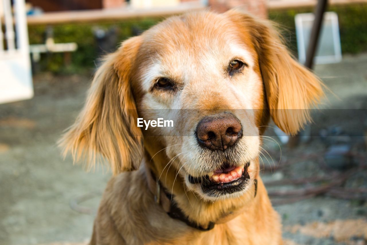 one animal, animal themes, dog, canine, domestic, pets, mammal, domestic animals, animal, focus on foreground, portrait, close-up, vertebrate, day, brown, looking at camera, animal body part, animal head, no people, retriever, outdoors, whisker, snout